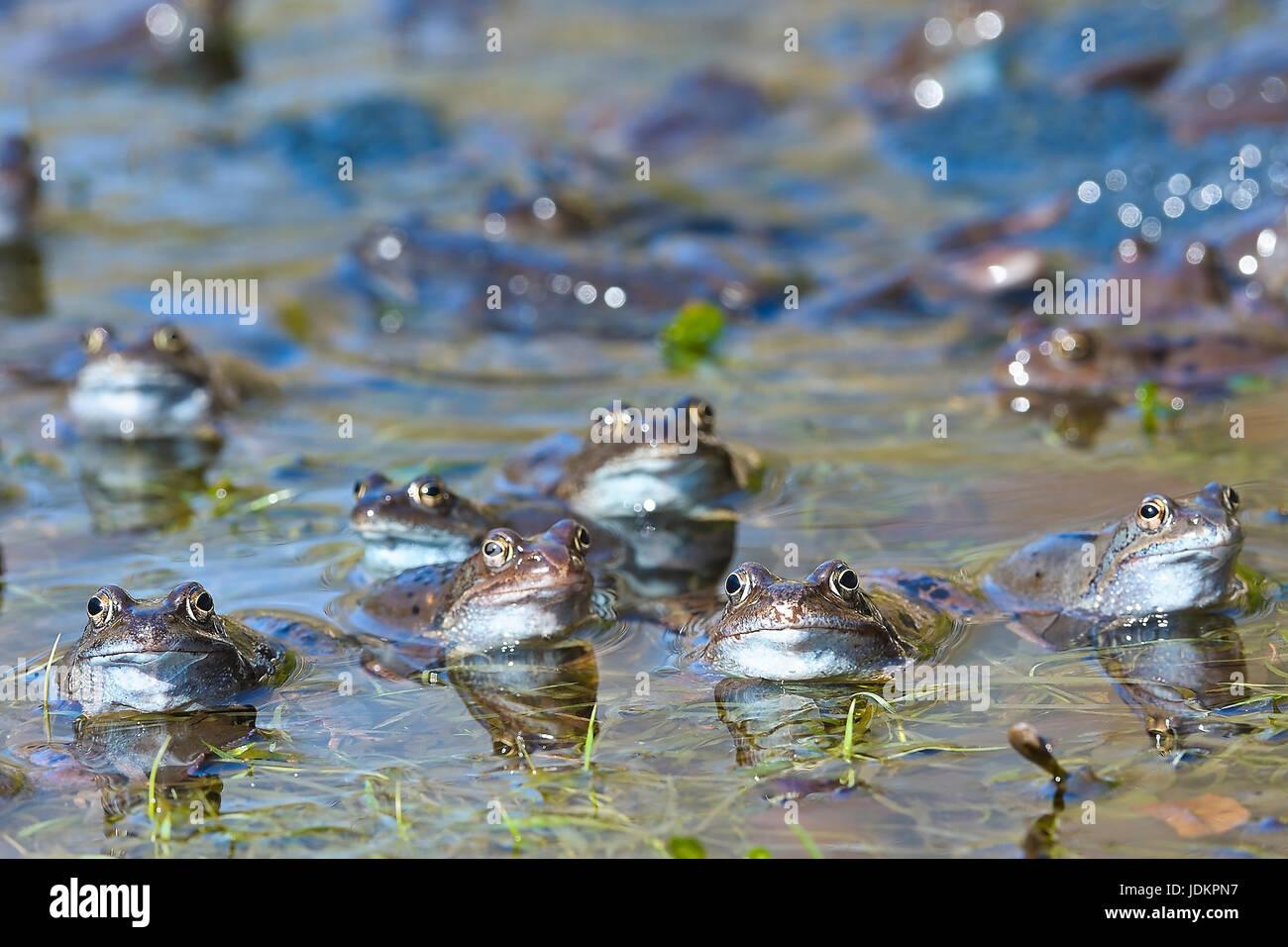 Grasfrosch, Gruppe im Gewaesser,  (Rana temporaria) - Stock Image