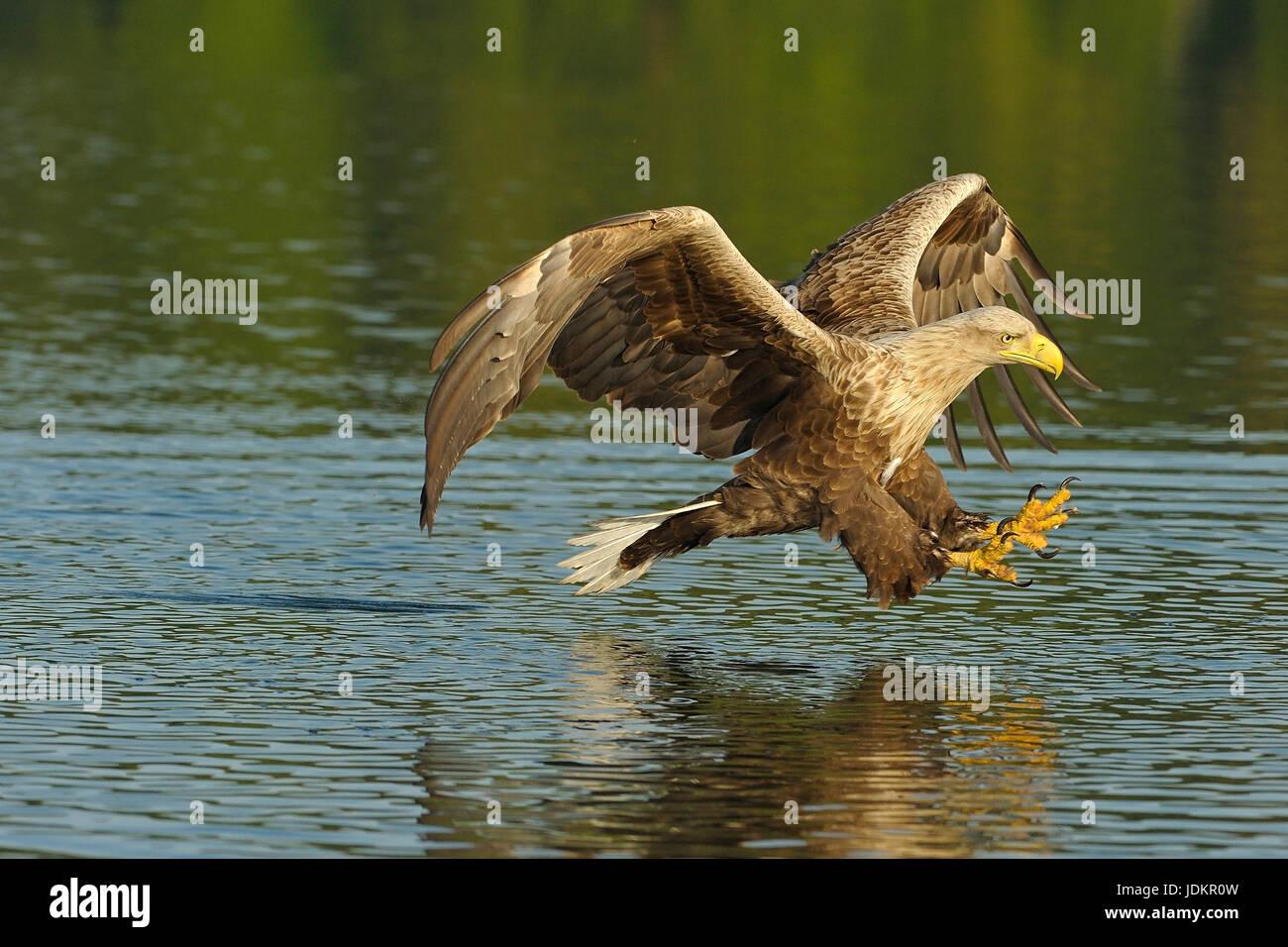 Seeadler auf der Jagd, Haliaeetus albicilla - Stock Image