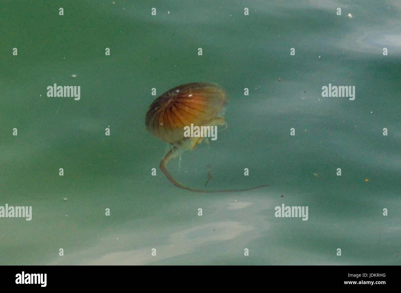 West Bay, Dorset, UK. 20th June 2017.   UK Weather.  A Compass Jellyfish in the sea just off the beach at the seaside - Stock Image