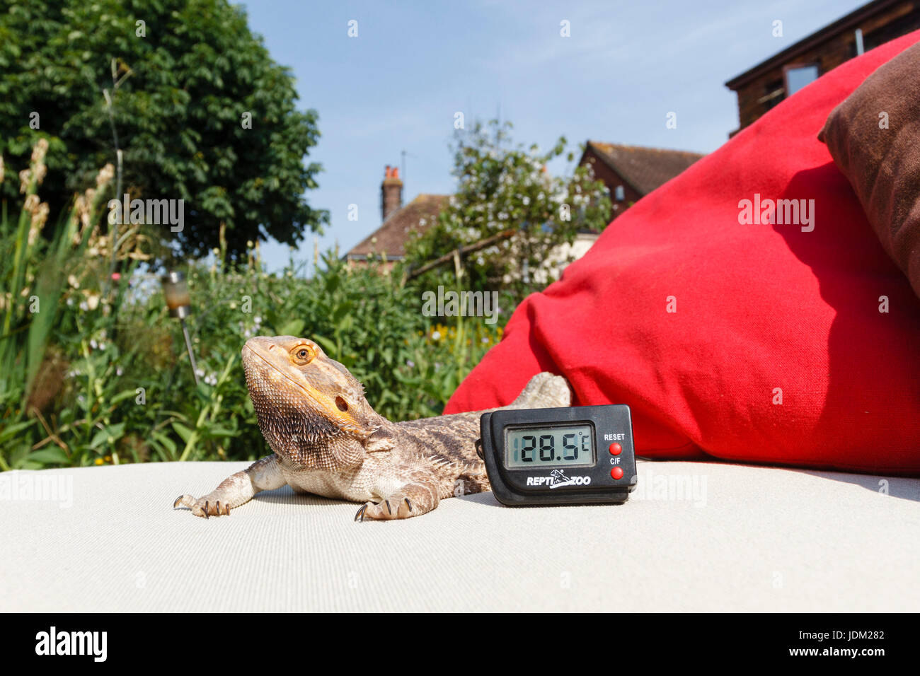 .21st Jun 2017.UK weather.Fenster the bearded dragon enjoys basking in the sun this morning as temperatures reach - Stock Image