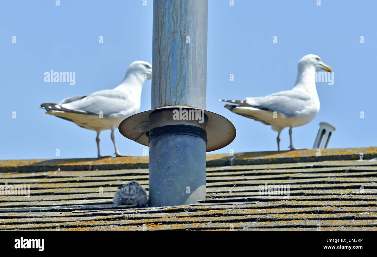 Brighton, UK. 21st June, 2017. Herring Gull chicks try to find some shade to help keep cool on Brighton rooftops - Stock Image
