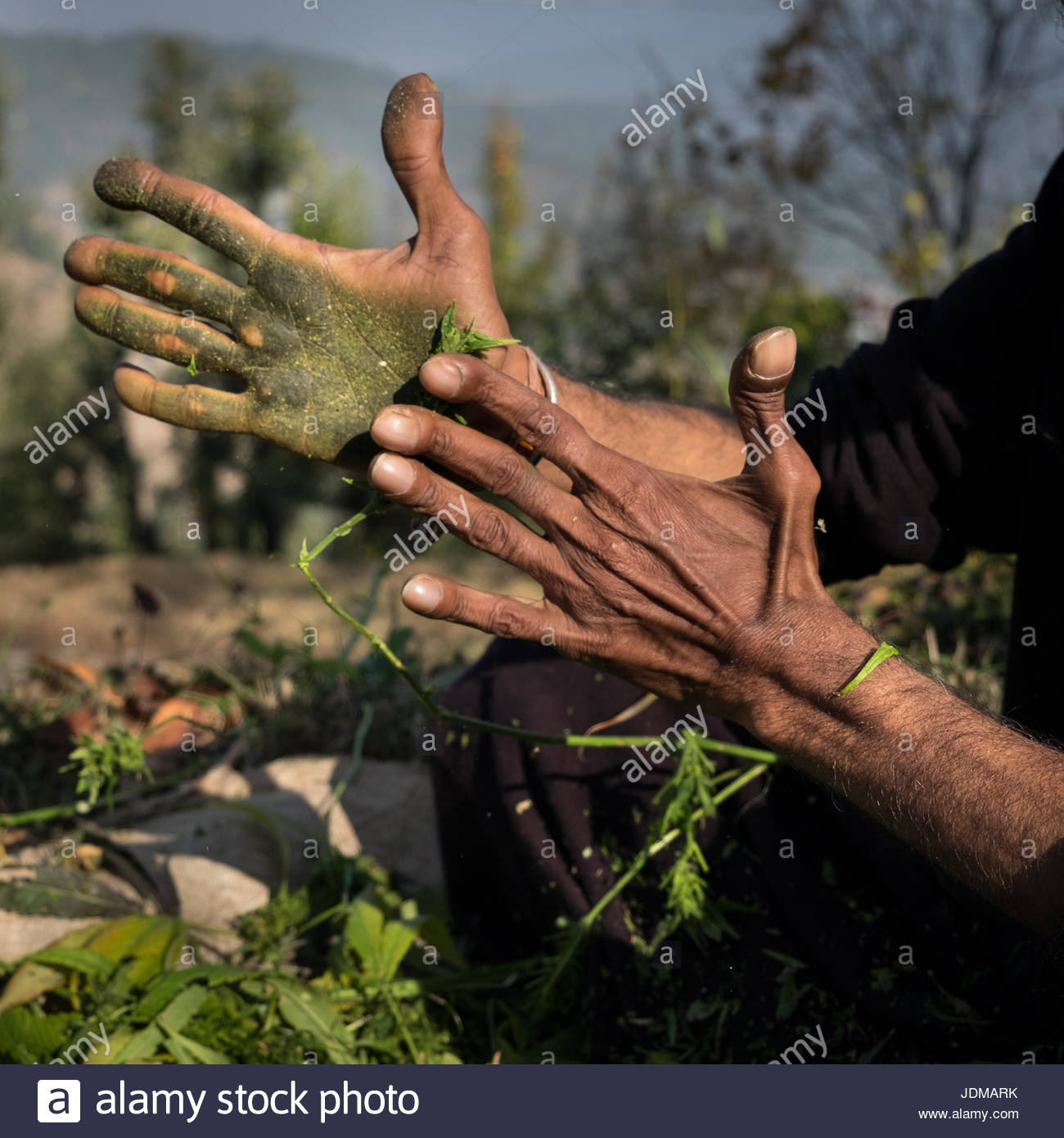 A Sadhu making hashish with marijuana. - Stock Image