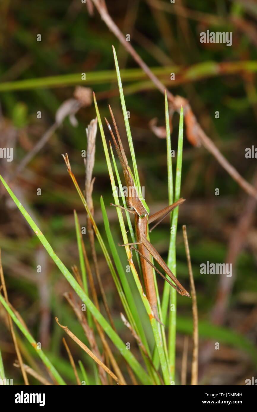A long-headed toothpick grasshopper, Achurum carinatum, on a blade of grass. - Stock Image