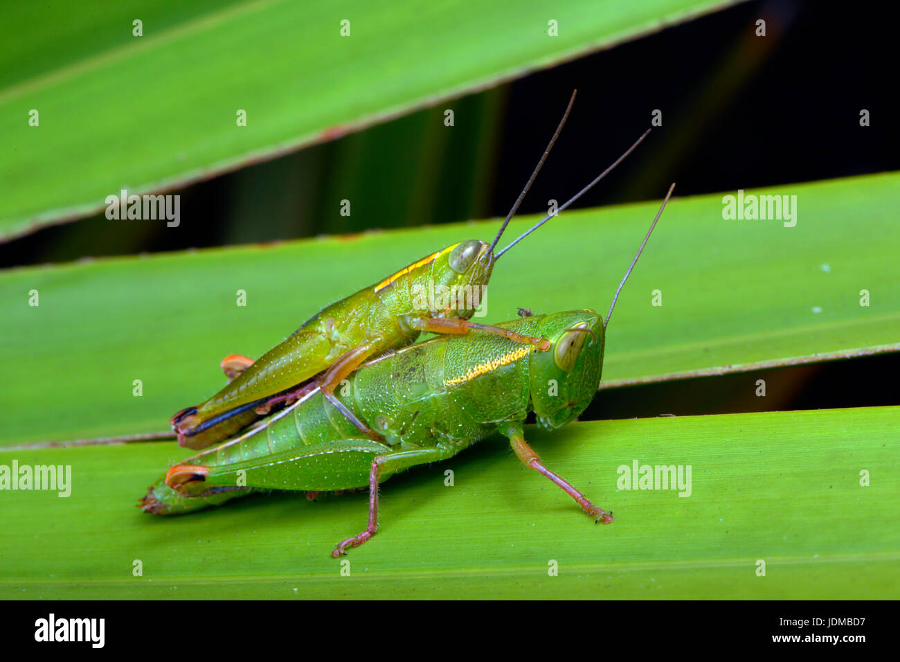 A pair of wingless Florida grasshoppers, Aptenopedes aptera, on palmetto. - Stock Image