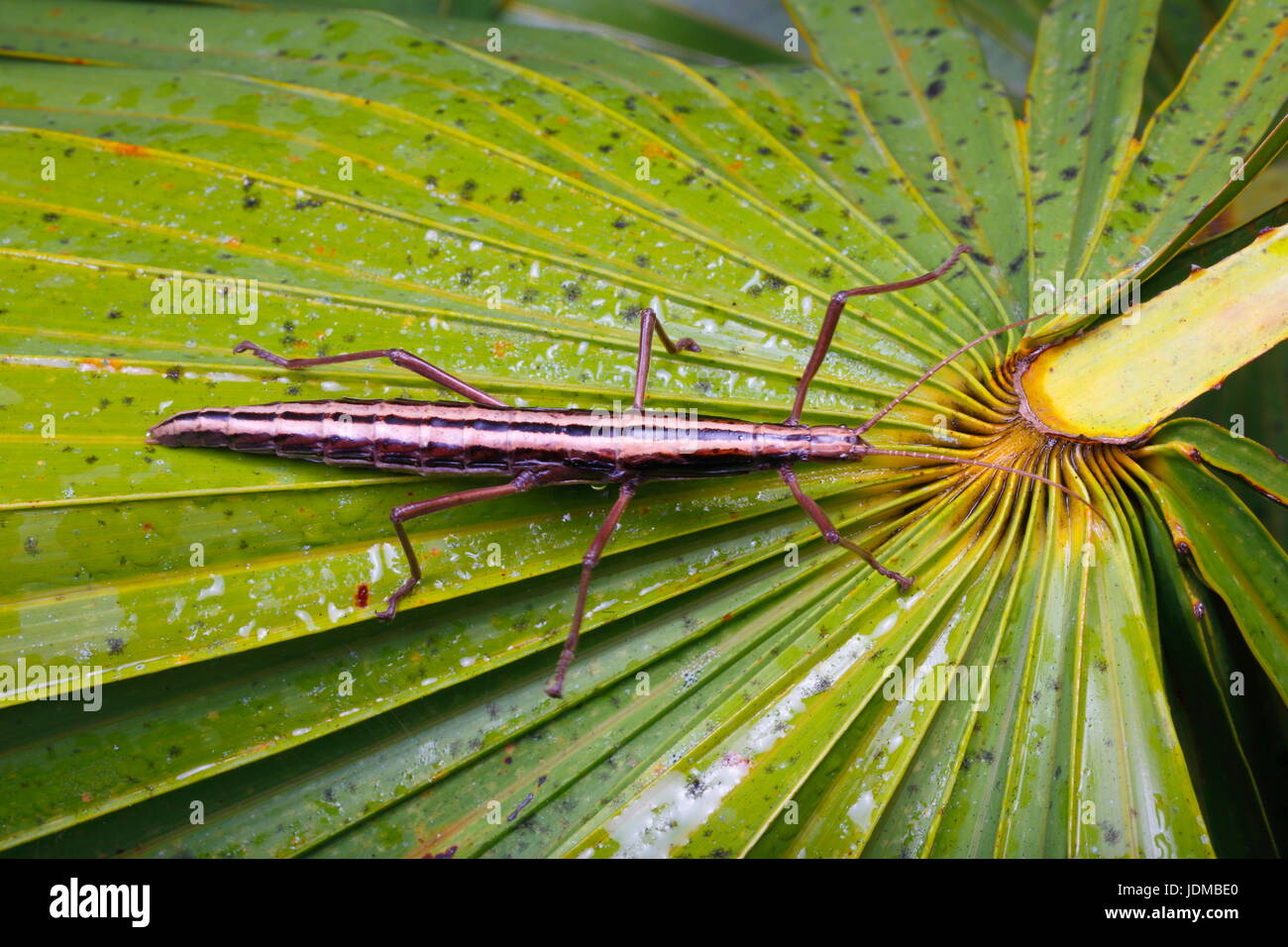 A two striped walking stick insect, Anisomorpha buprestoide. - Stock Image
