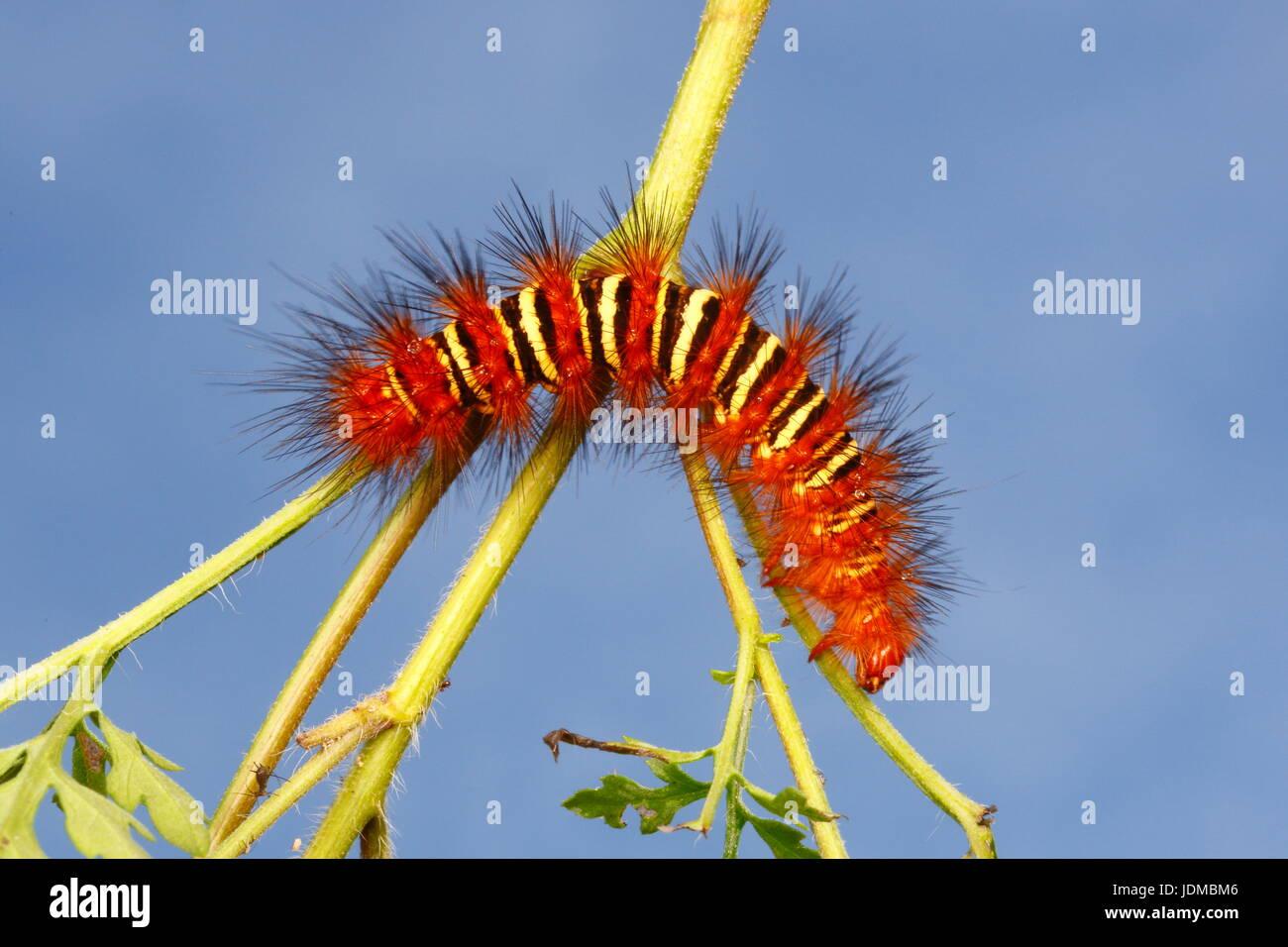 An echo moth caterpillar, Seirarctia echo, crawls on a plant stem. - Stock Image