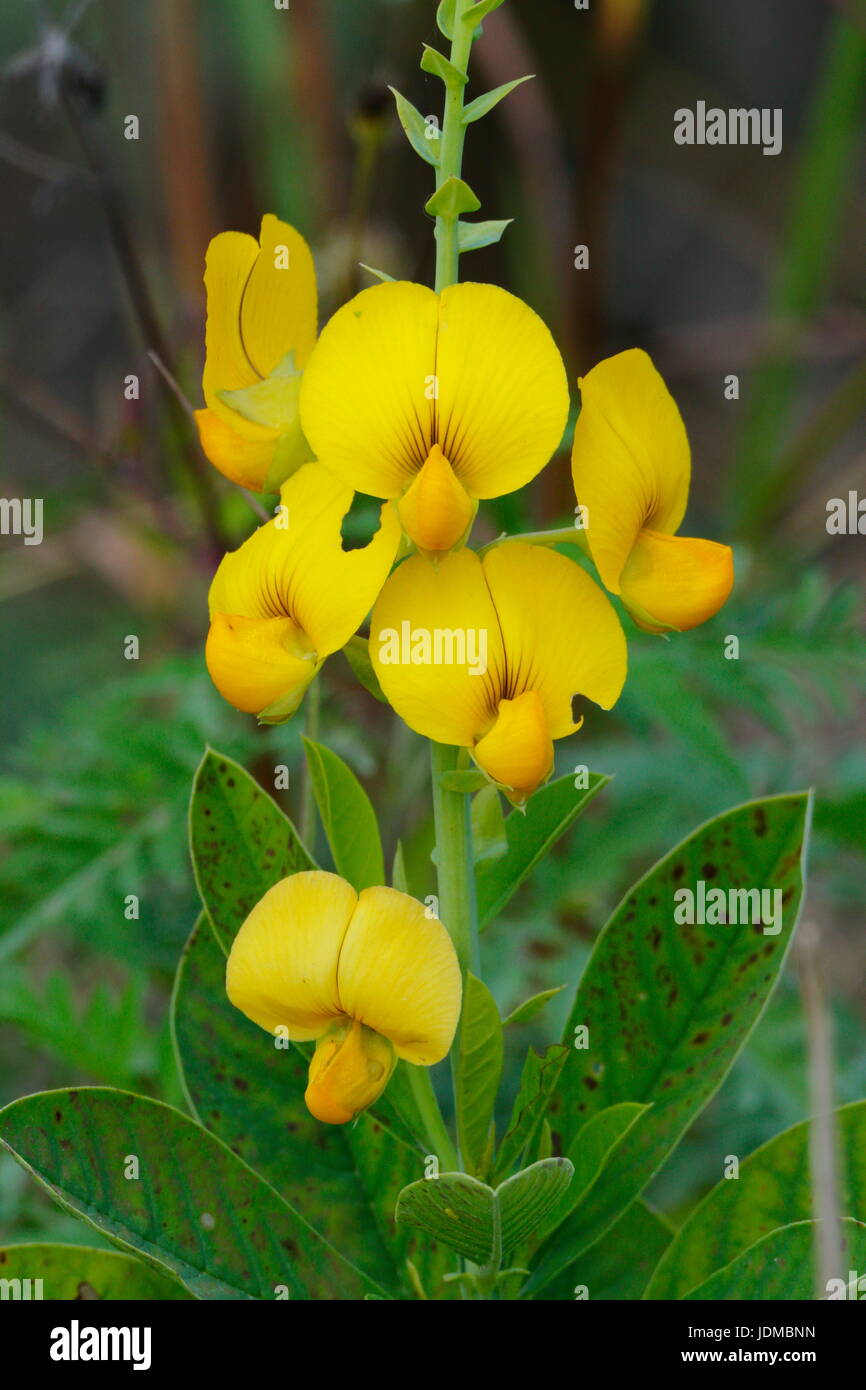 A showy rattlebox, Crotalaria spectabilis. - Stock Image