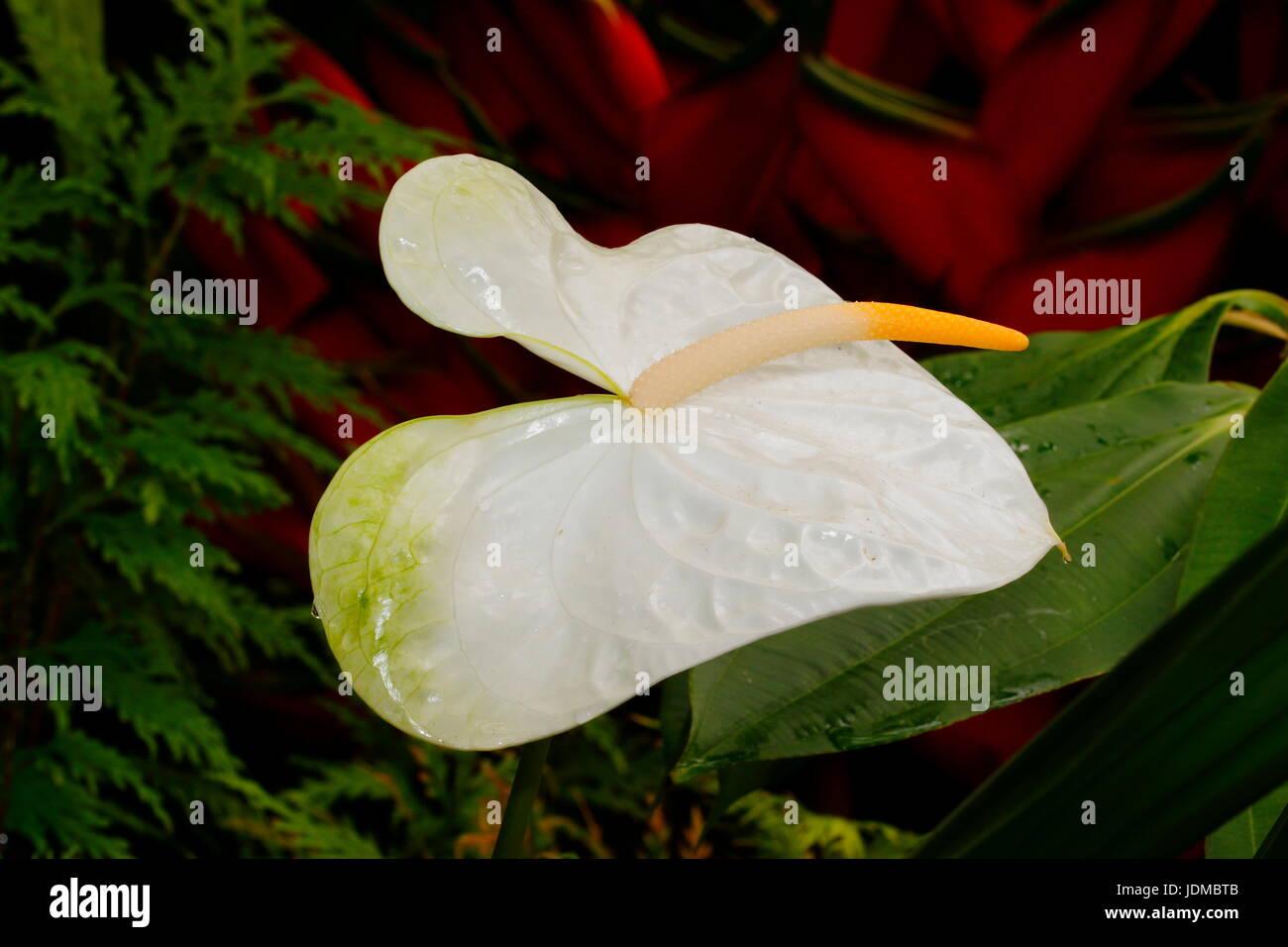A White Anthurium Flower Growing At A Botanical Garden Stock Photo