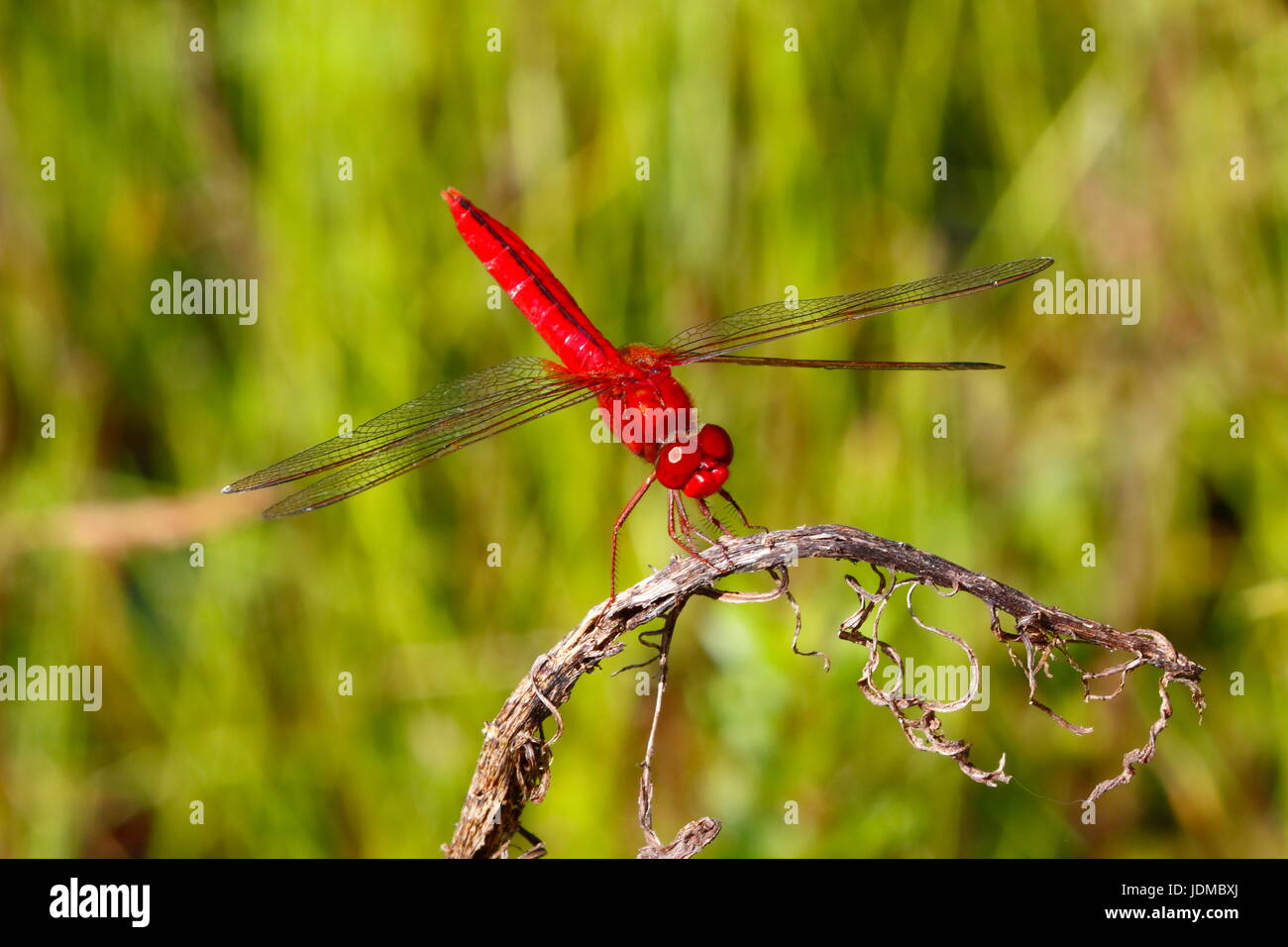A scarlet skimmer, Crocothemis servilia, at rest on a twig. - Stock Image