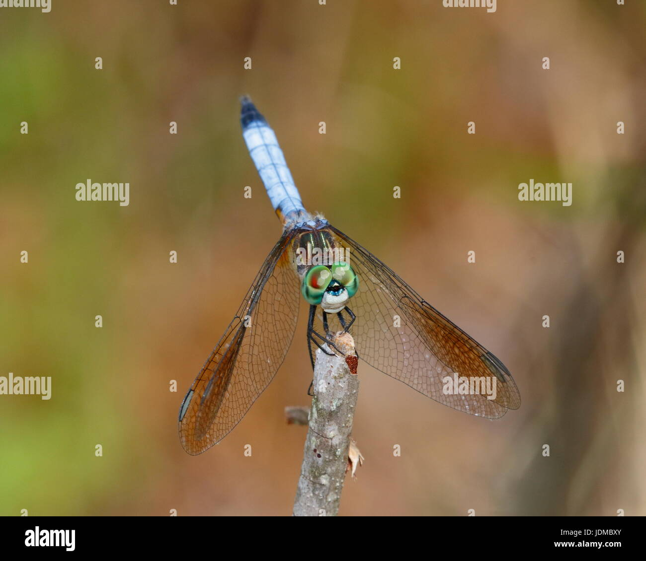 A male blue dasher dragonfly, Pachydiplax longipennis, rests on a twig. - Stock Image