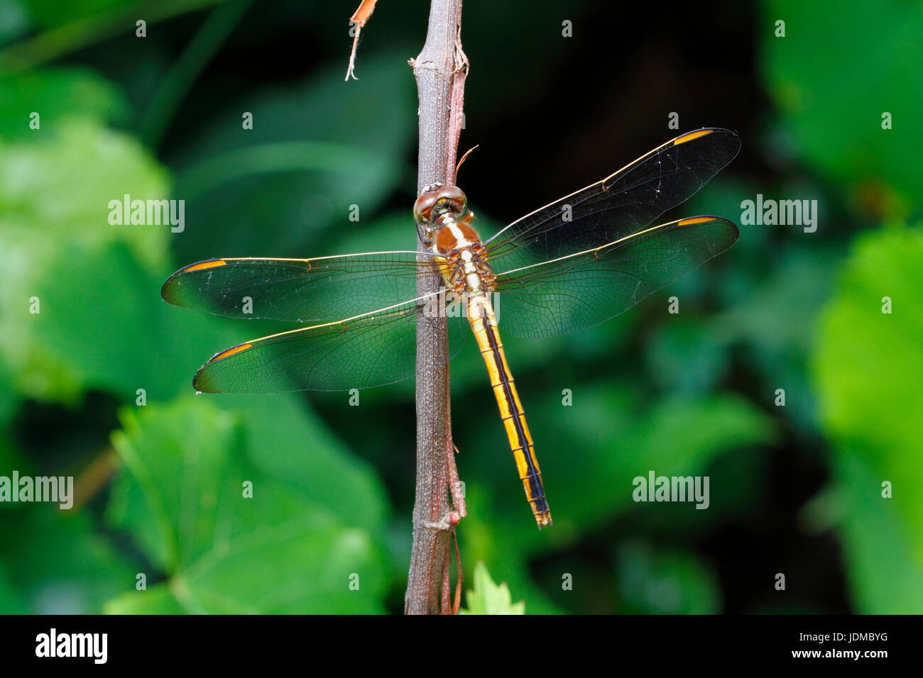 A needham's skimmer, Libellula needhami, at rest on a twig. - Stock Image