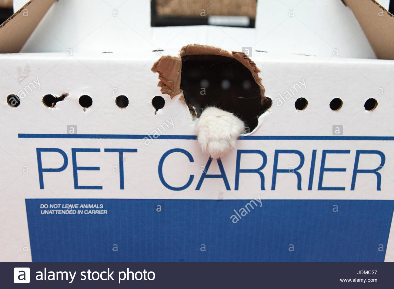 A rescued cat punches through his temporary pet carrier. - Stock Image