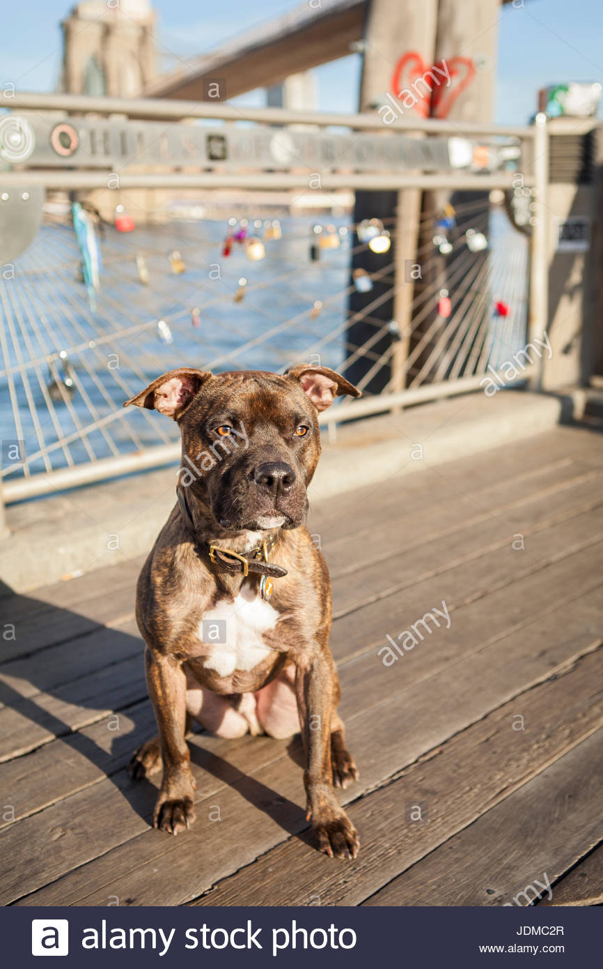 An American Staffordshire Terrier, or pit bull, in Brooklyn Bridge Park. - Stock Image