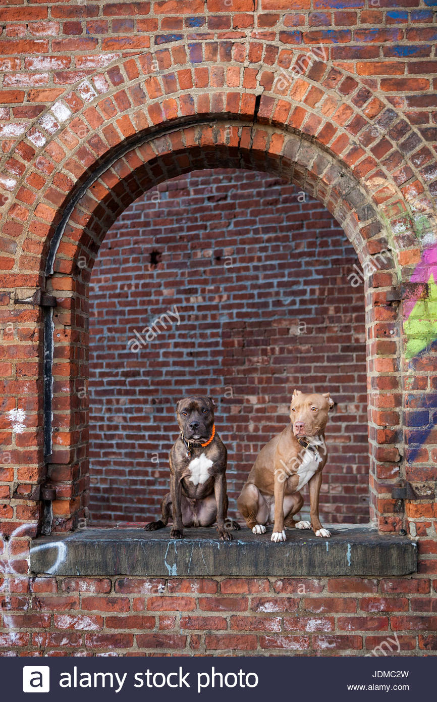 Two American Staffordshire Terriers, or pit bulls, sit in an abandoned brick building. - Stock Image