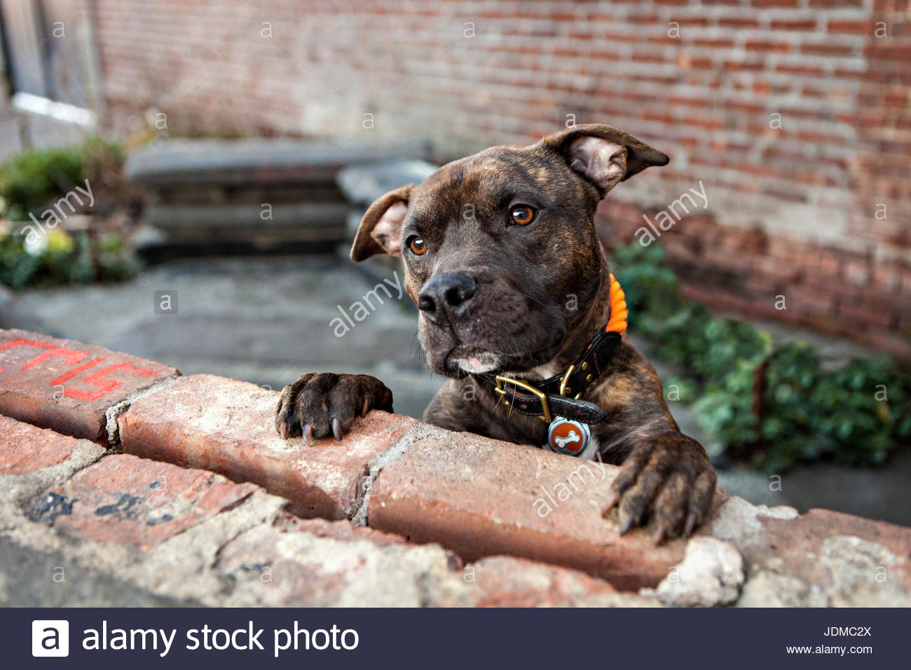 An American Staffordshire Terrier, or pit bull, begs for treats. - Stock Image