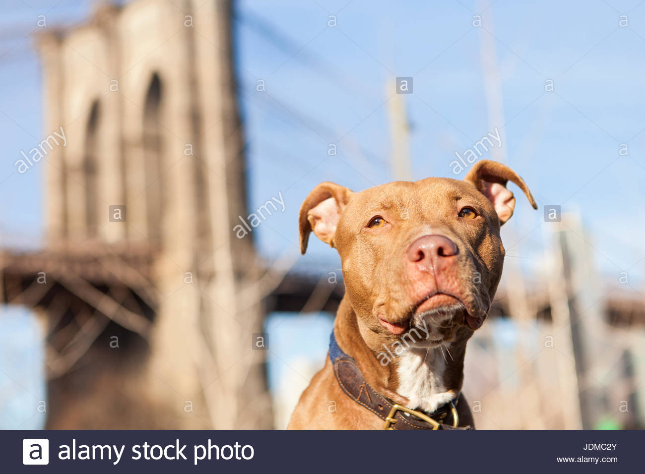 An American Staffordshire Terrier, or pit bull, poses for pictures on a warm sunny morning. - Stock Image