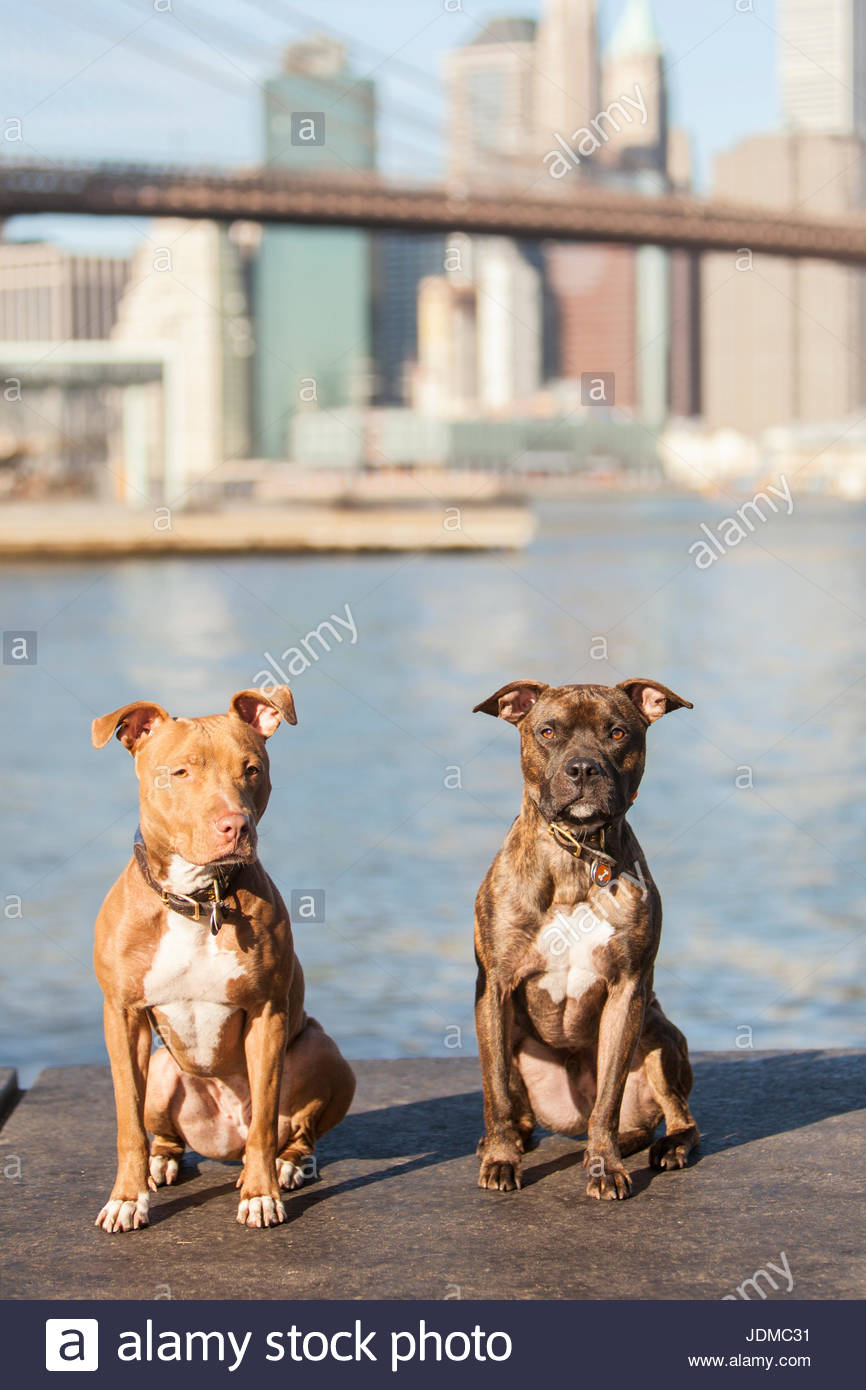 Two American Staffordshire Terriers, or pit bulls, pose on a warm sunny morning. - Stock Image