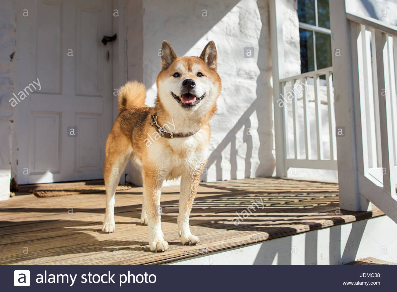 A senior Shiba Inu poses for pictures on a house porch. - Stock Image