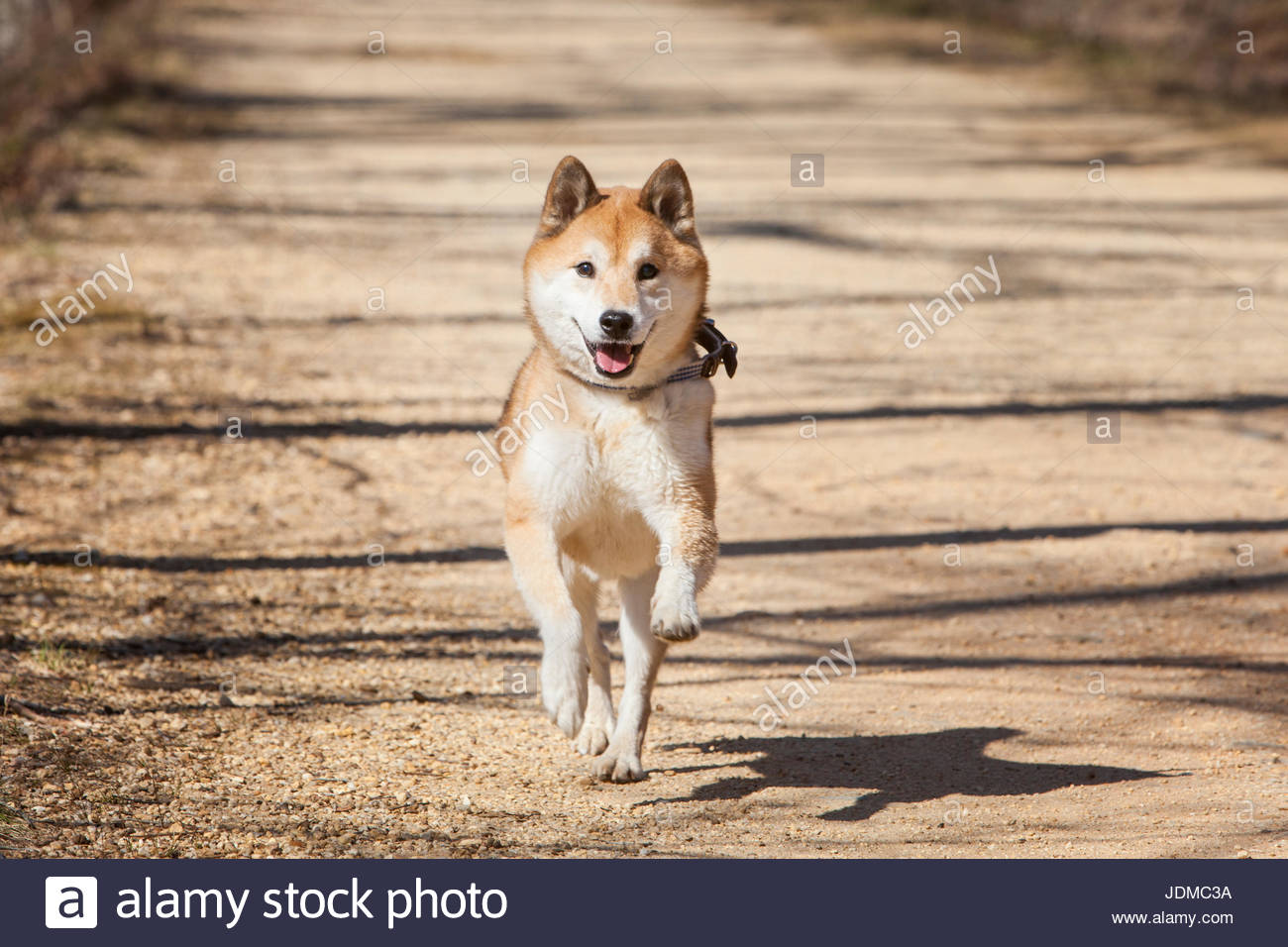 A senior Shiba Inu runs along the C&O Canal Towpath. - Stock Image
