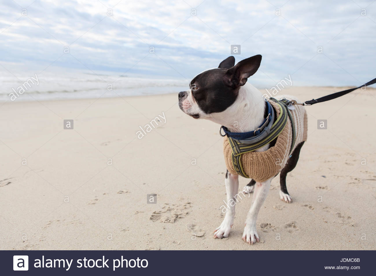 A young Boston terrier wearing a sweater explores the beach. - Stock Image