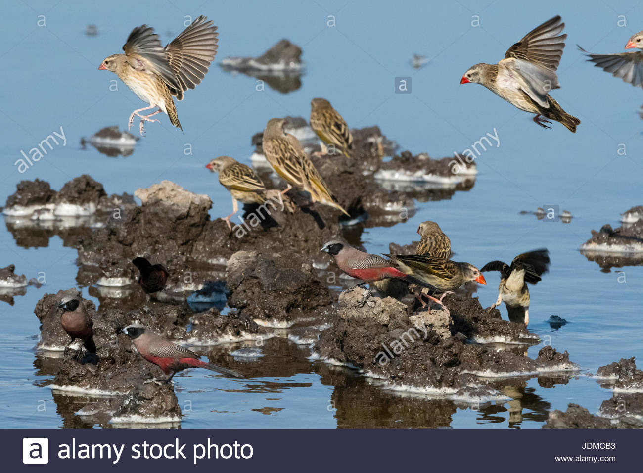 Different species of birds gathered at waterhole. - Stock Image