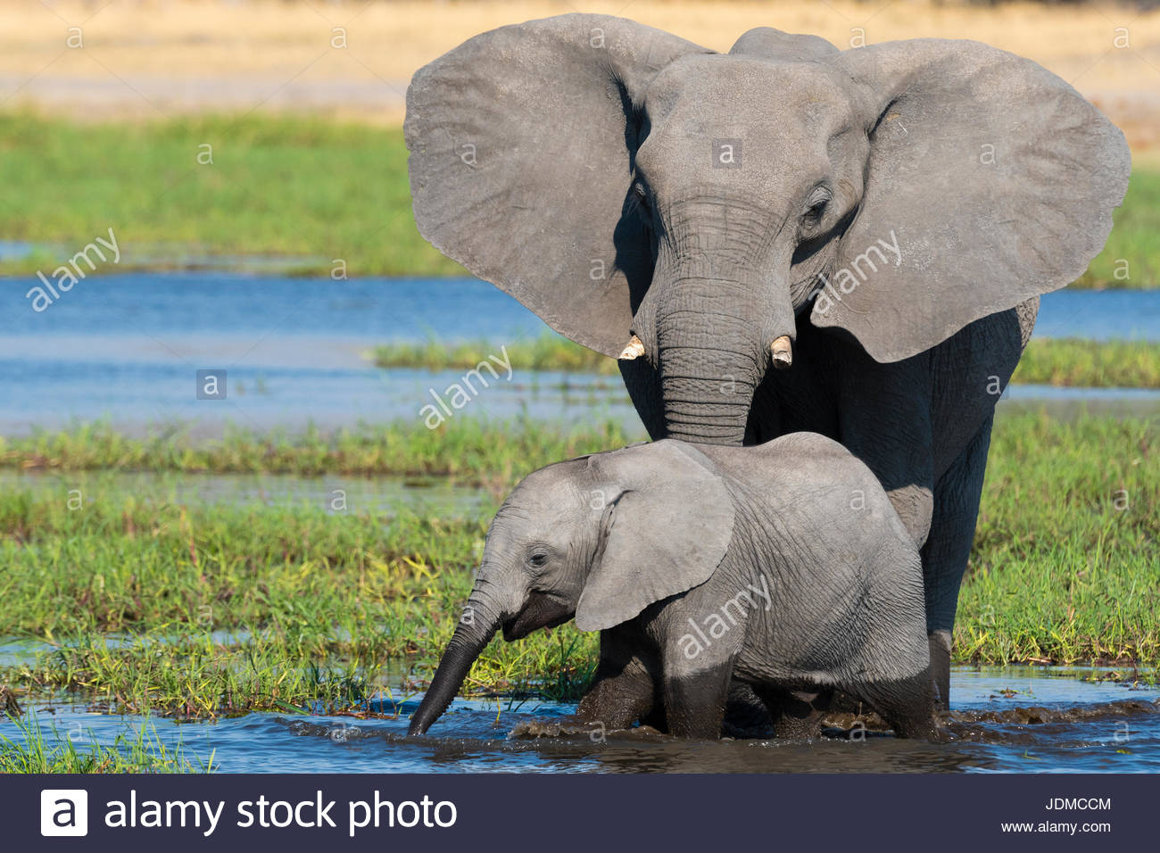 A female African elephant and calf, Loxodonta africana, drinking in the river Khwai. - Stock Image