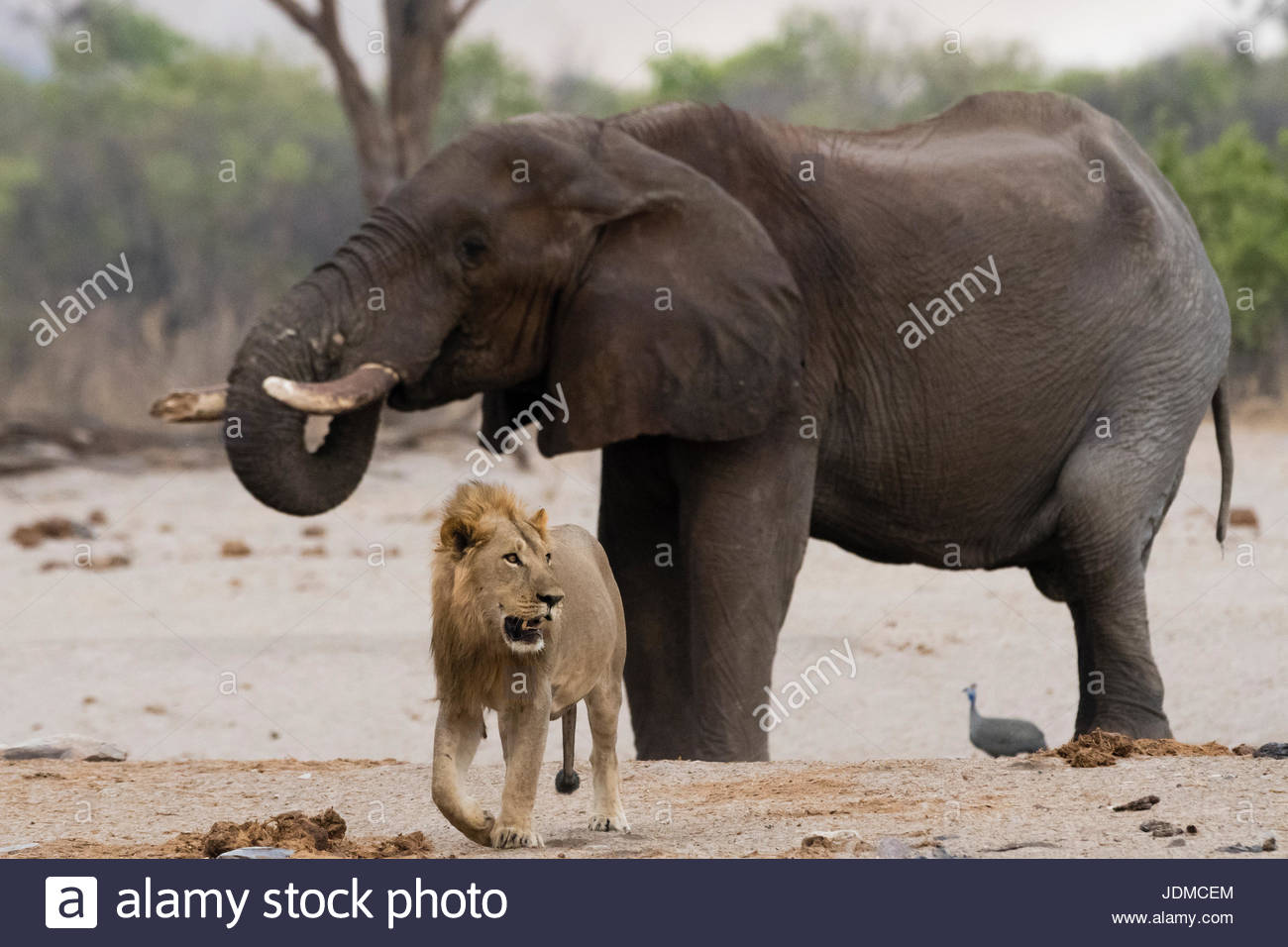 A male lion, Panthera leo, walking away from an African elephant, Loxodonta africana, drinking at waterhole. - Stock Image