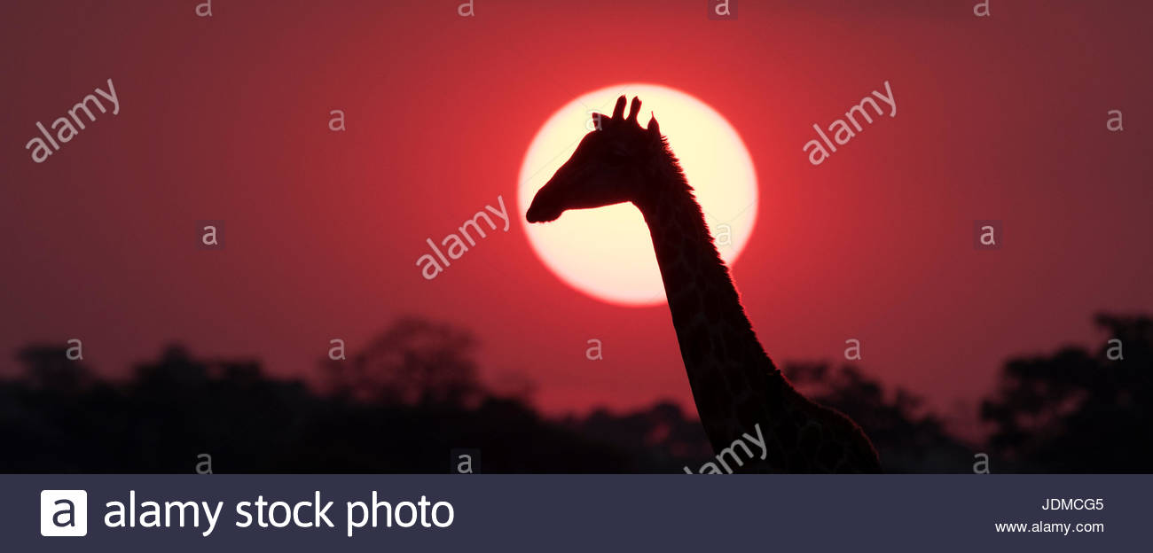 A giraffe, Giraffa camelopardalis, at sunset. - Stock Image