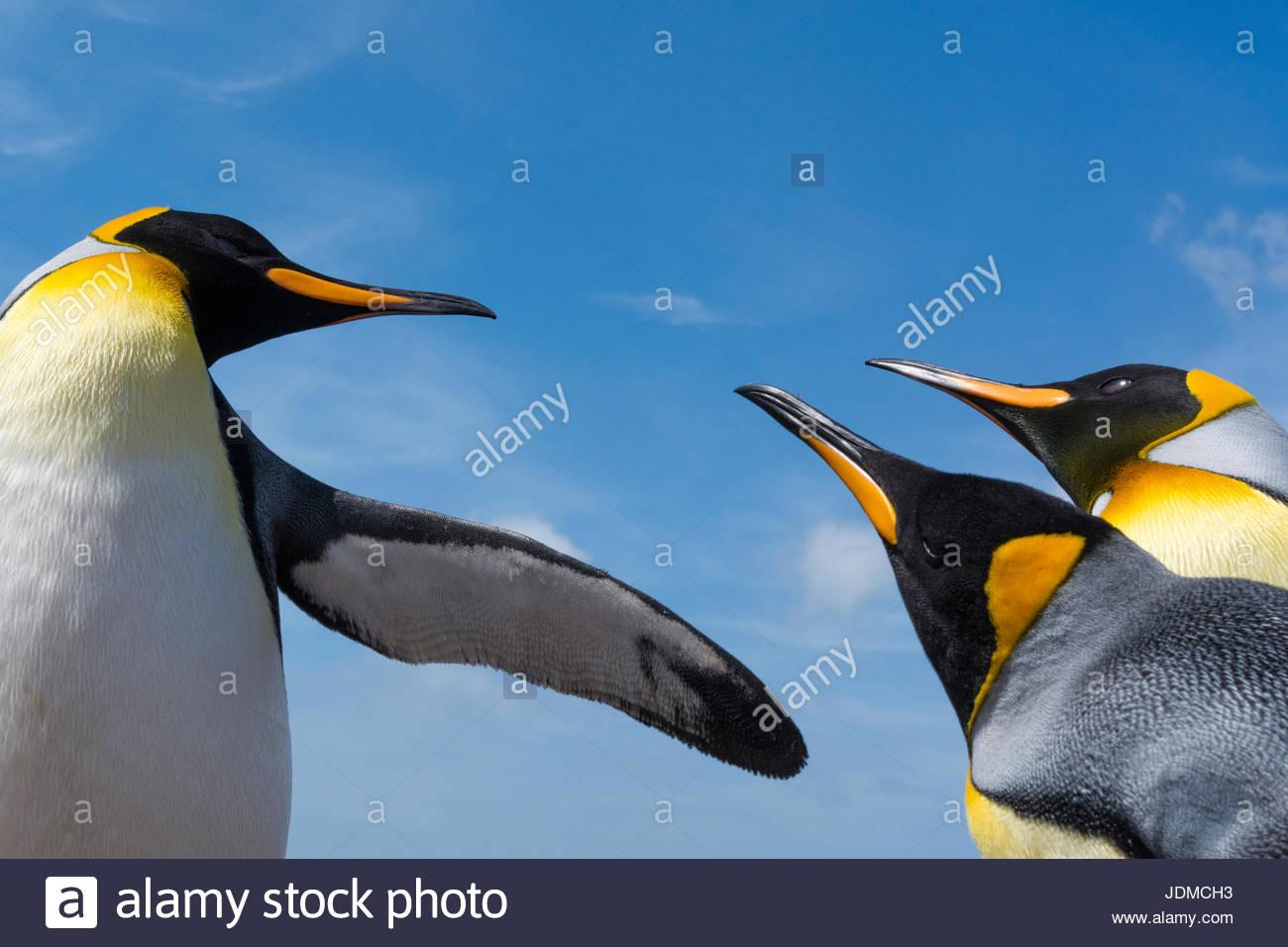 King penguins, Aptenodytes patagonica, fighting. - Stock Image