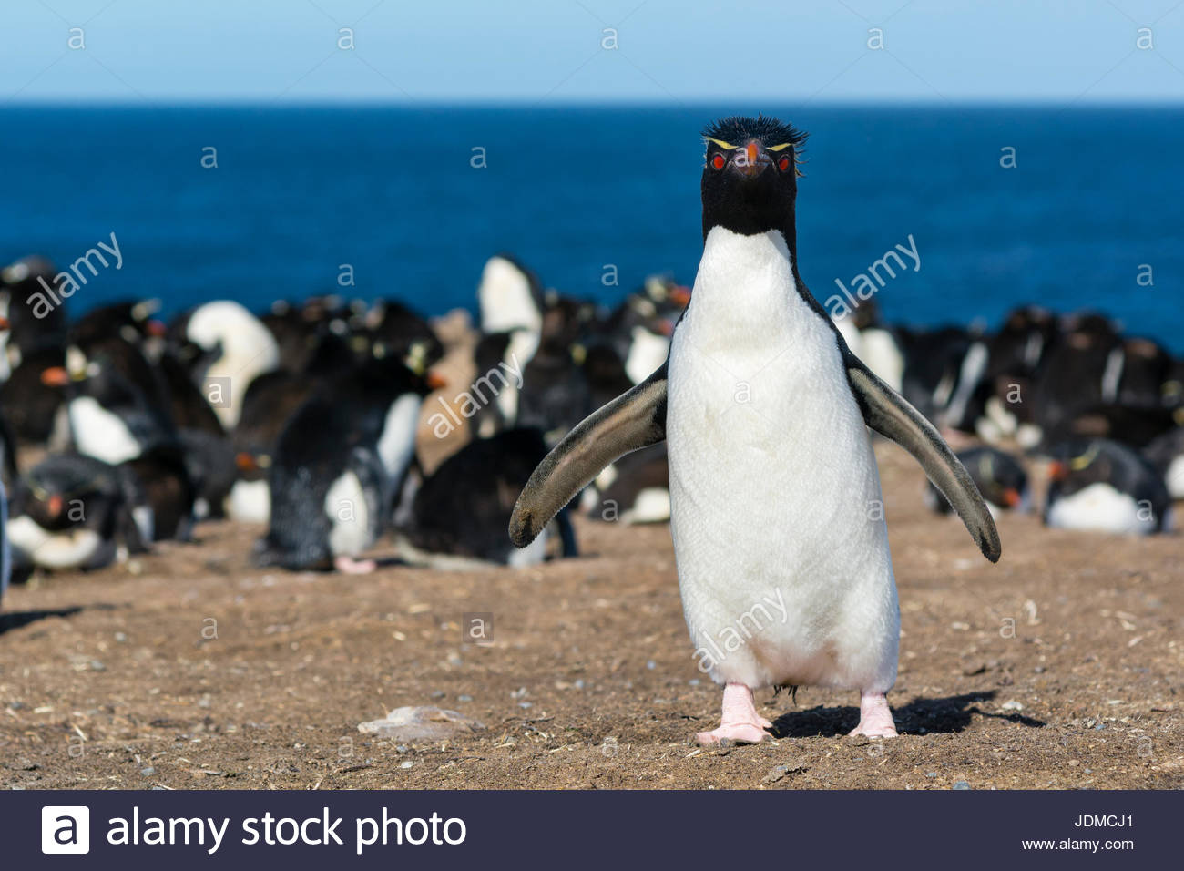 A rockhopper penguin, Eudyptes chrysocome, looking at the camera. - Stock Image