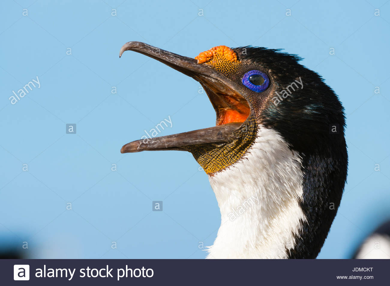 Portrait of an imperial shag, Leucocarbo atriceps. - Stock Image