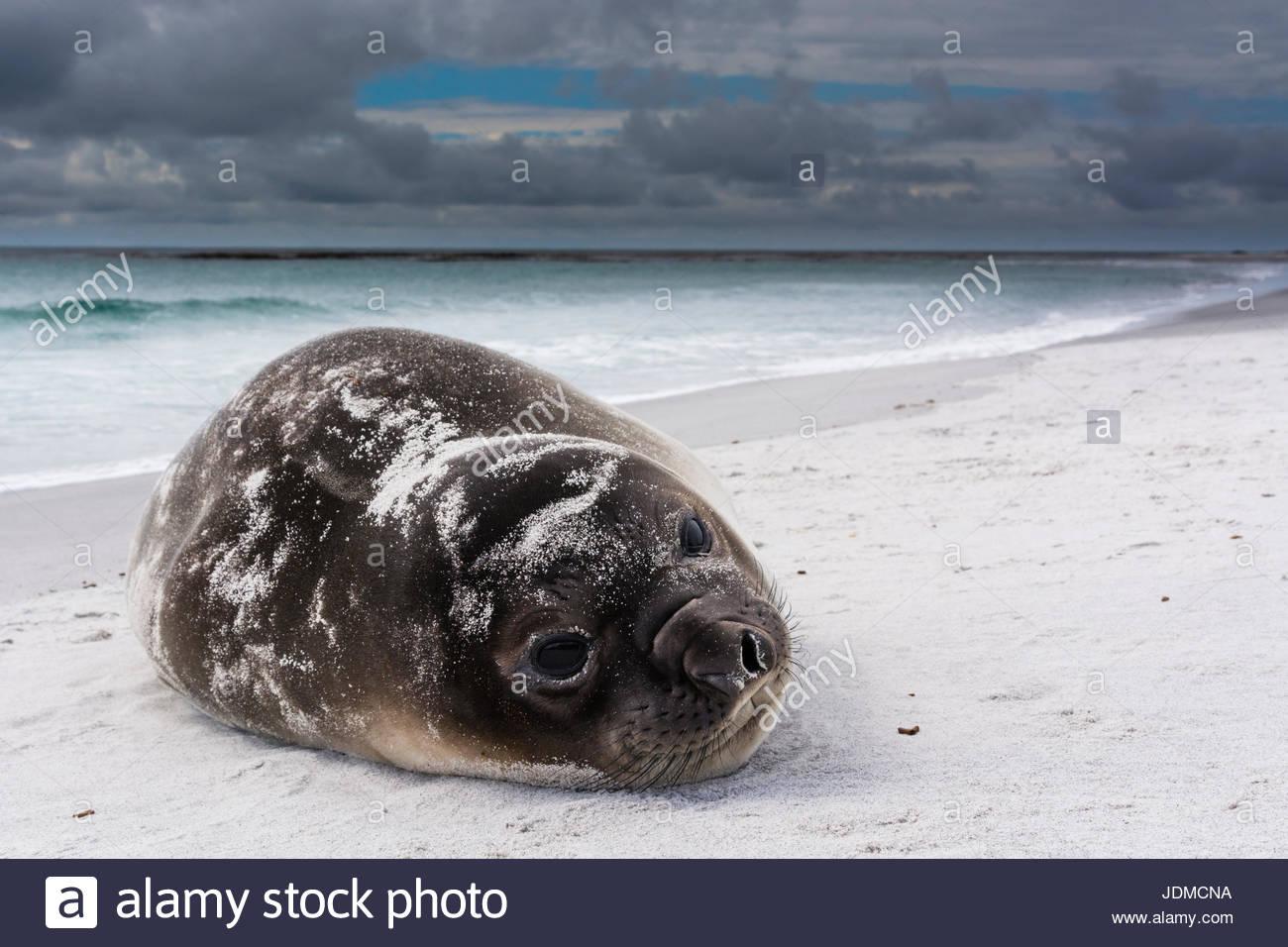 Southern elephant seal pup, Mirounga leonina, resting on a beach. - Stock Image