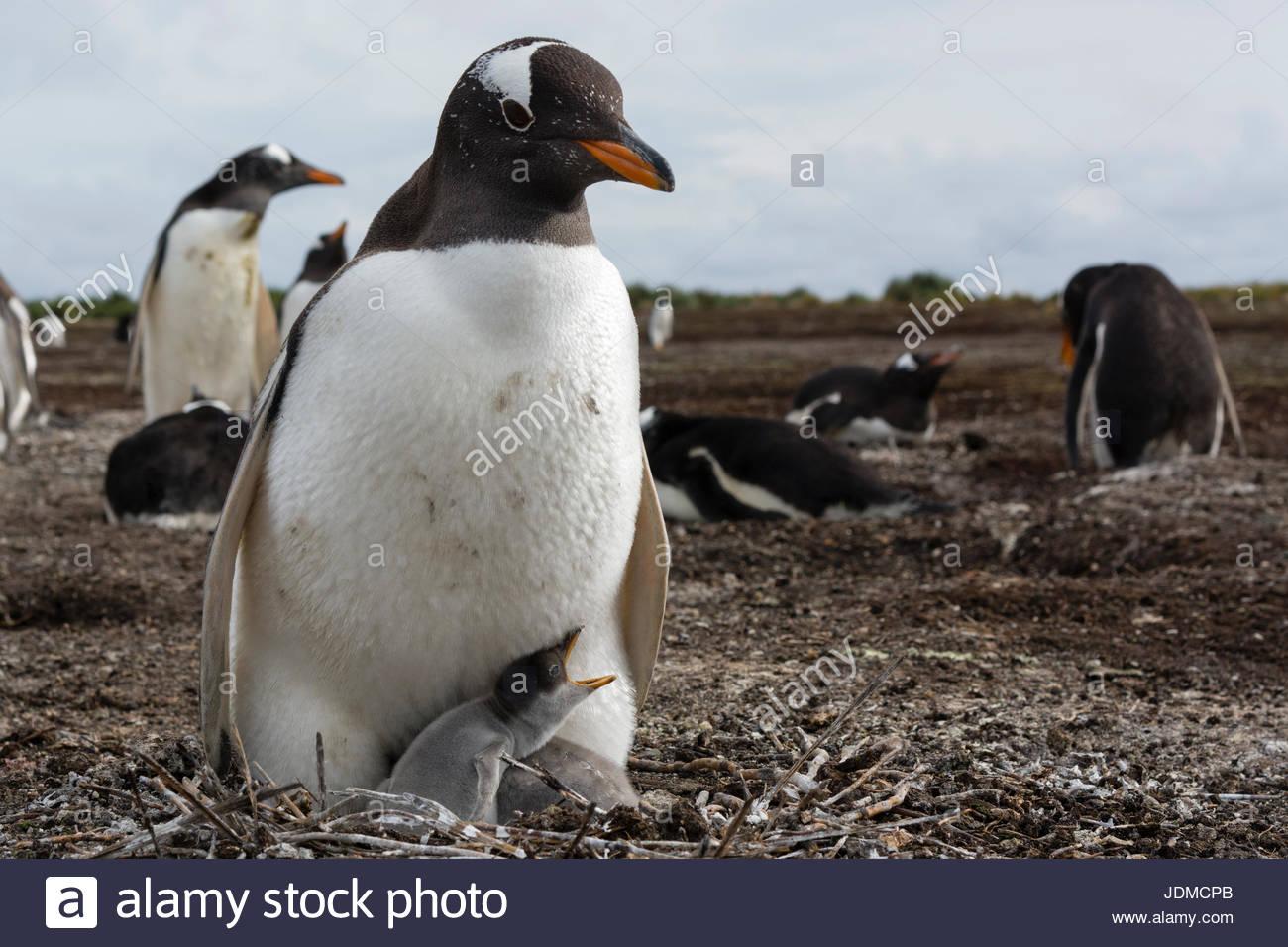 A Gentoo penguin, Pygoscelis papua, with its chick. - Stock Image