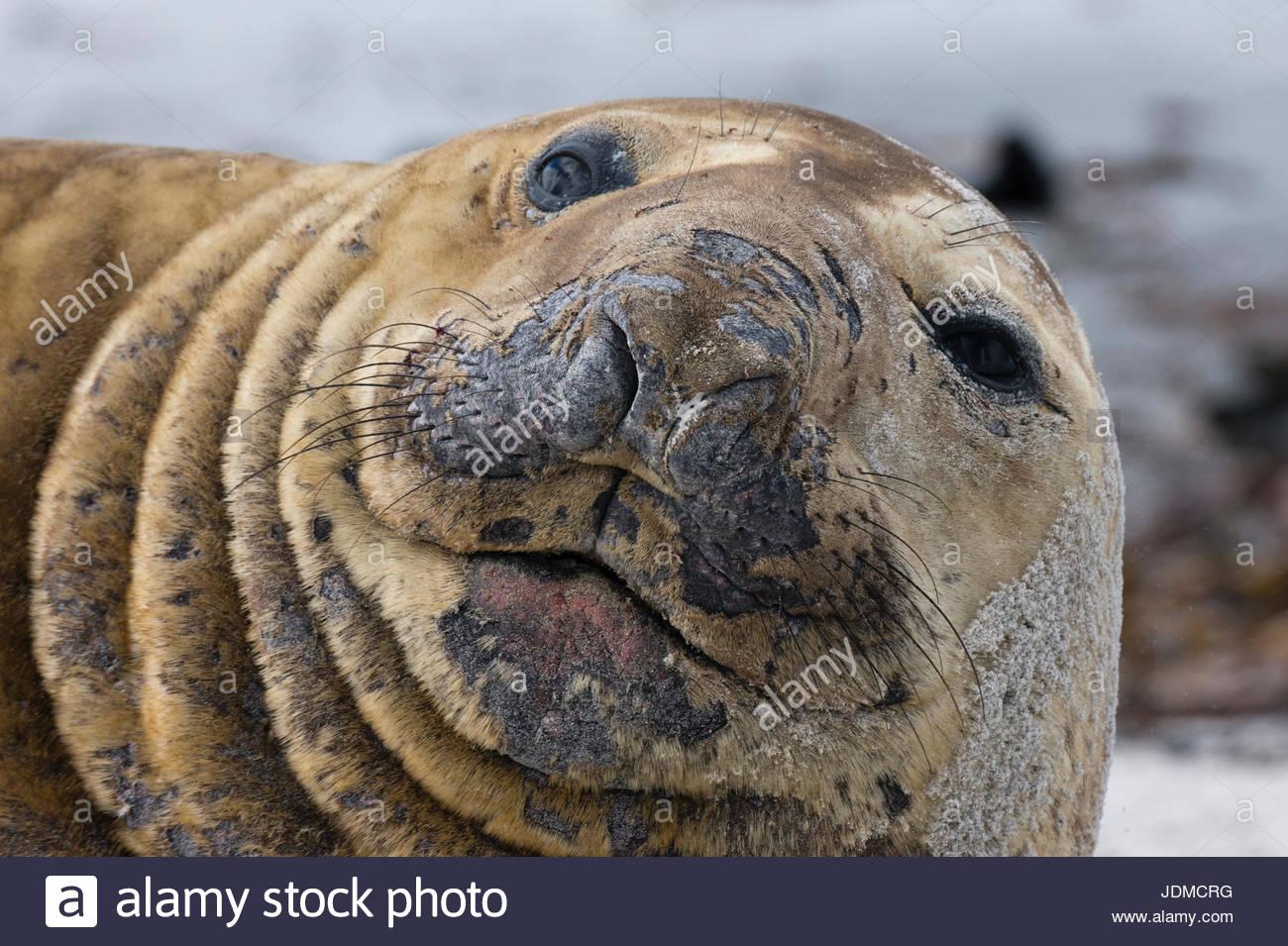 A southern elephant seal , Mirounga leonina, looks into camera. - Stock Image