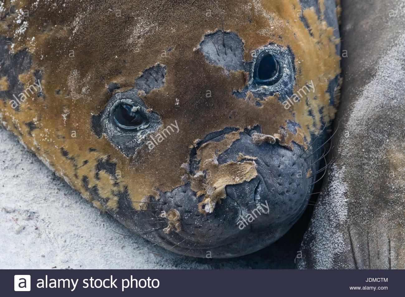 A southern elephant seal molting, Mirounga leonina, looks into camera. - Stock Image