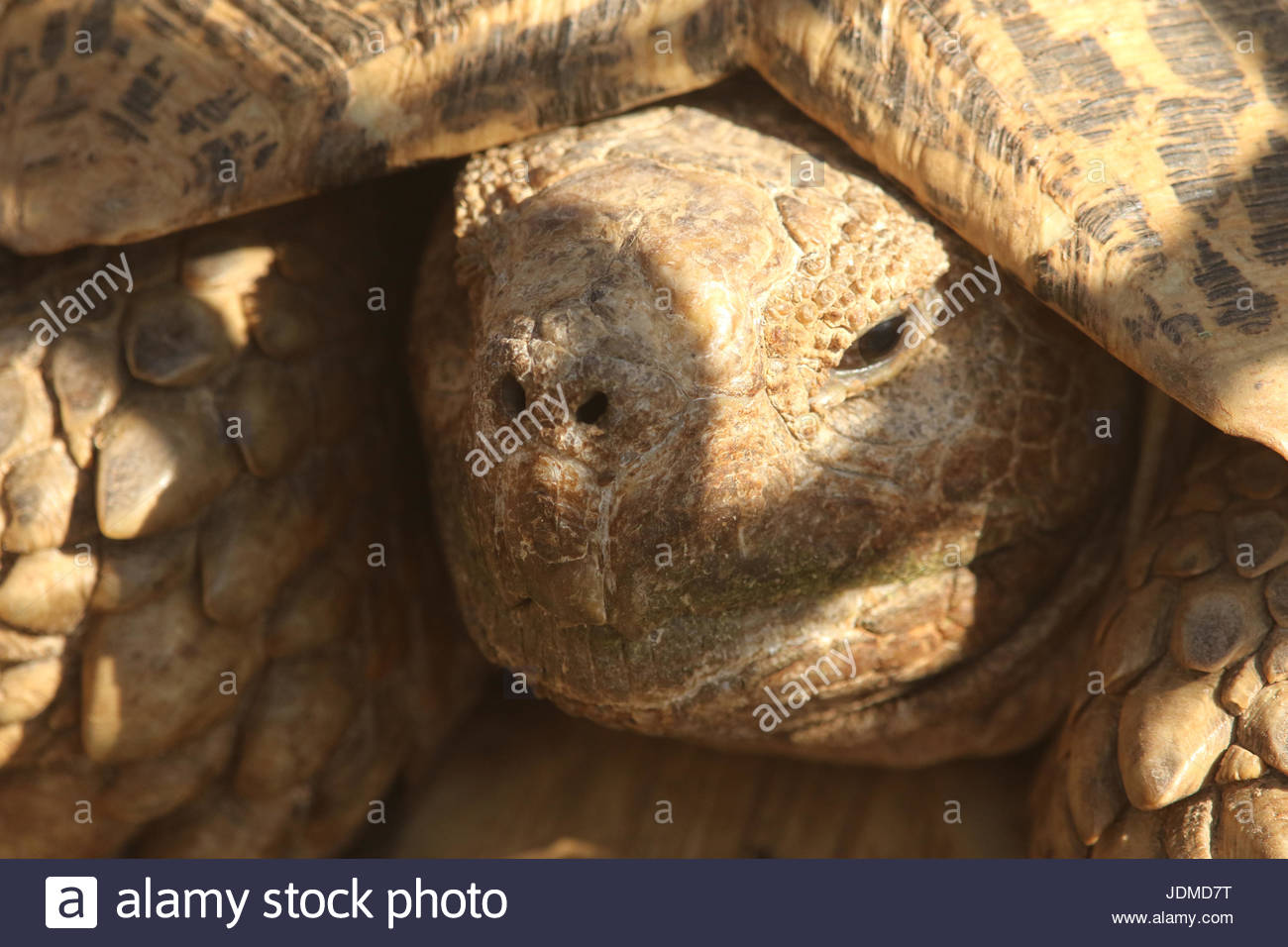 Close up of a Leopard tortoise, Stigmochelys pardalis. - Stock Image
