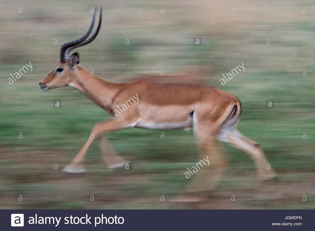 An impala running in Serengeti National Park. - Stock Image