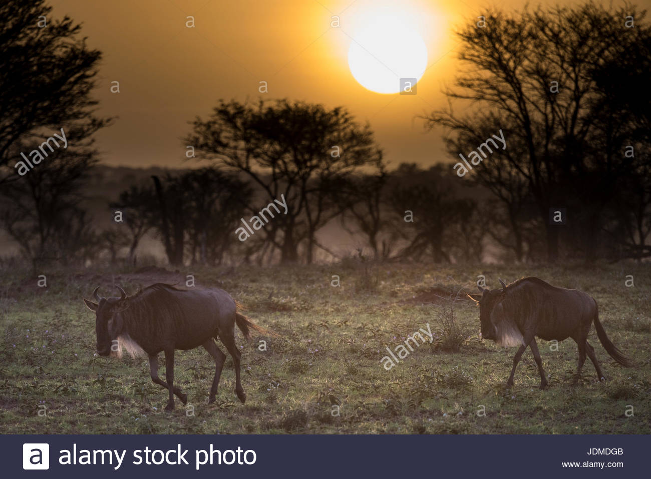 A pair of wildebeest at sunrise in Tanzania's Serengeti National Park. - Stock Image