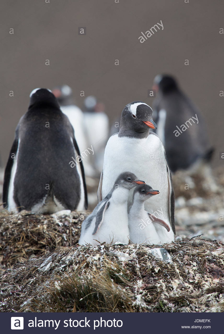 Gentoo penguins, Pygoscelis papua, rear their penguin chicks at a colony. - Stock Image