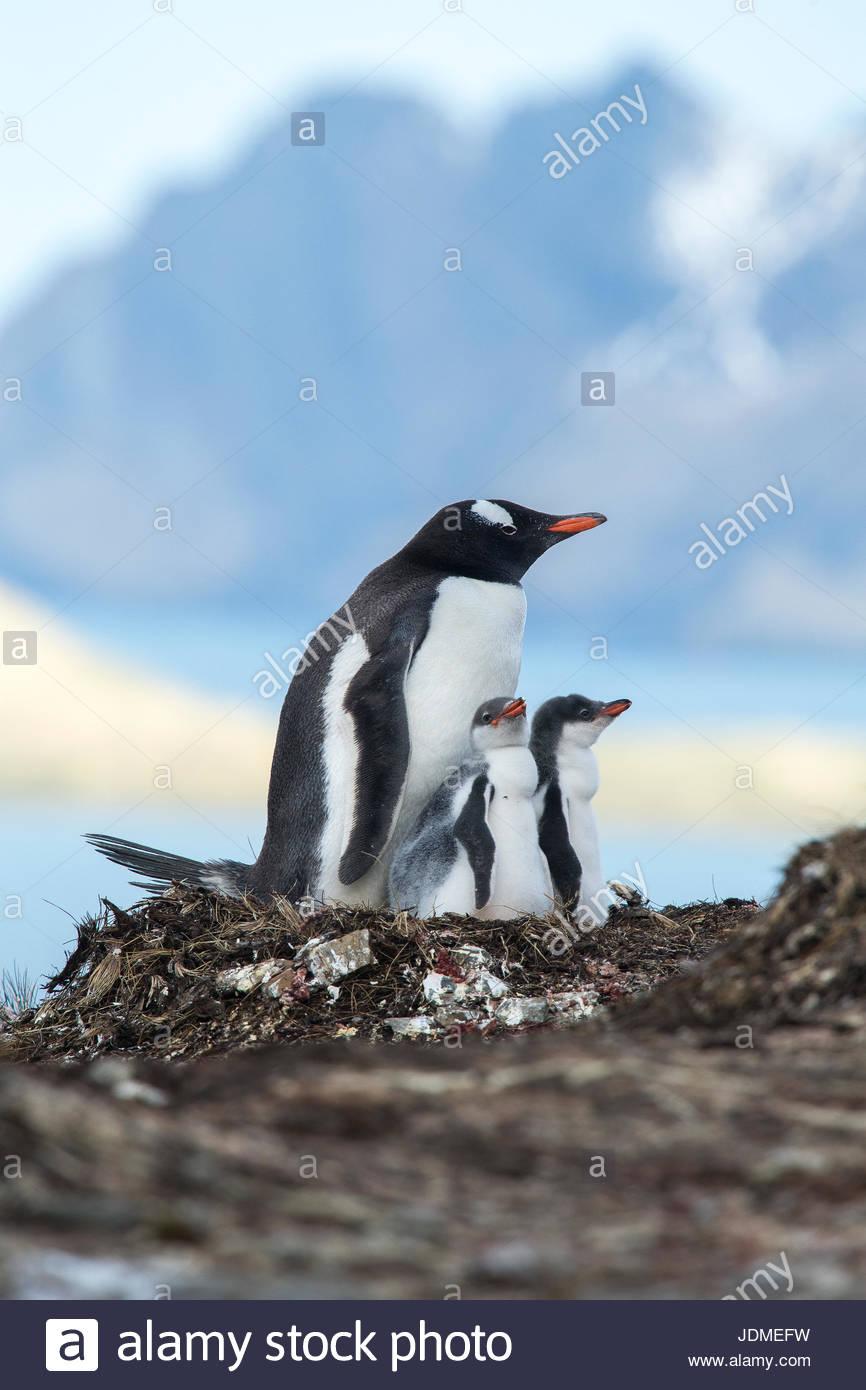 Gentoo penguins, Pygoscelis papua, rear their penguin chicks at a colony. - Stock Image