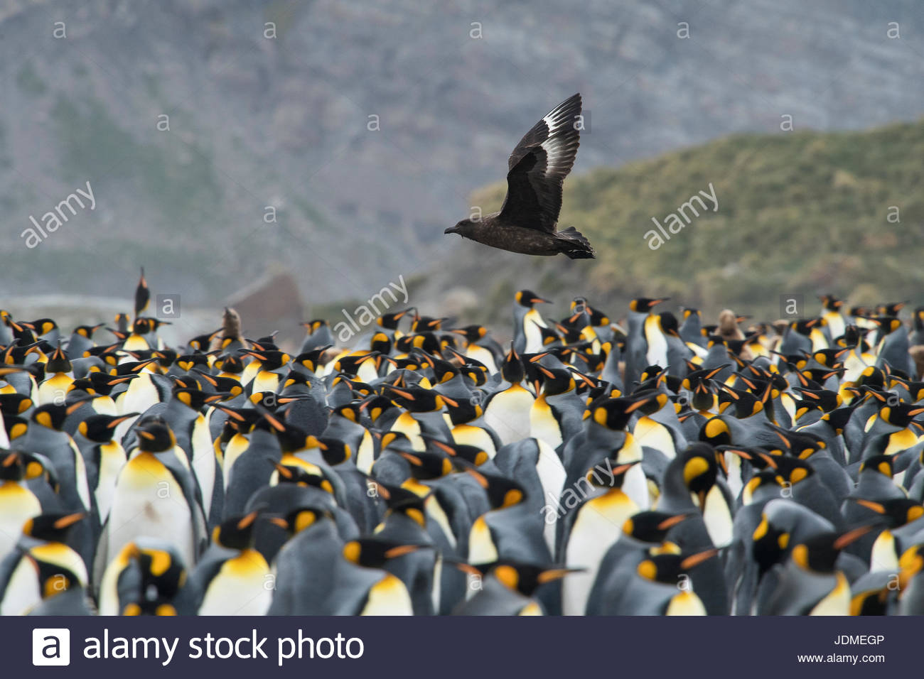 A brown skua flies over a king penguin colony on Gold Harbour. - Stock Image