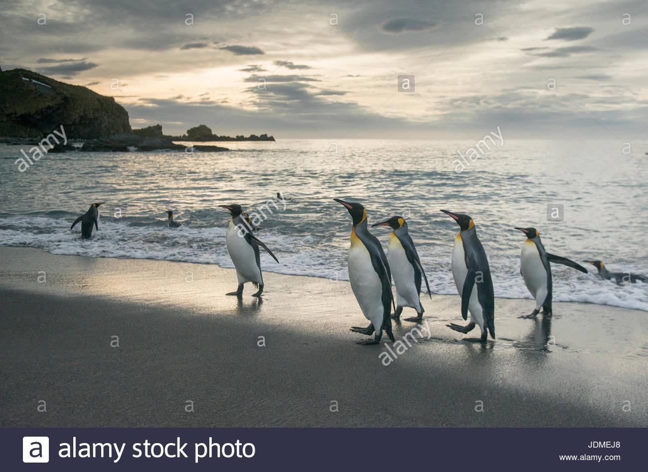 King penguins walk along the shoreline at sunrise at Gold Harbour. Stock Photo
