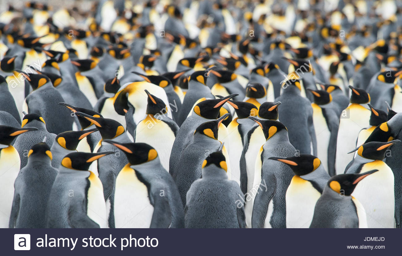 Adult King penguins, Aptenodytes patagonicus, stand in a group together at Gold Harbour. - Stock Image