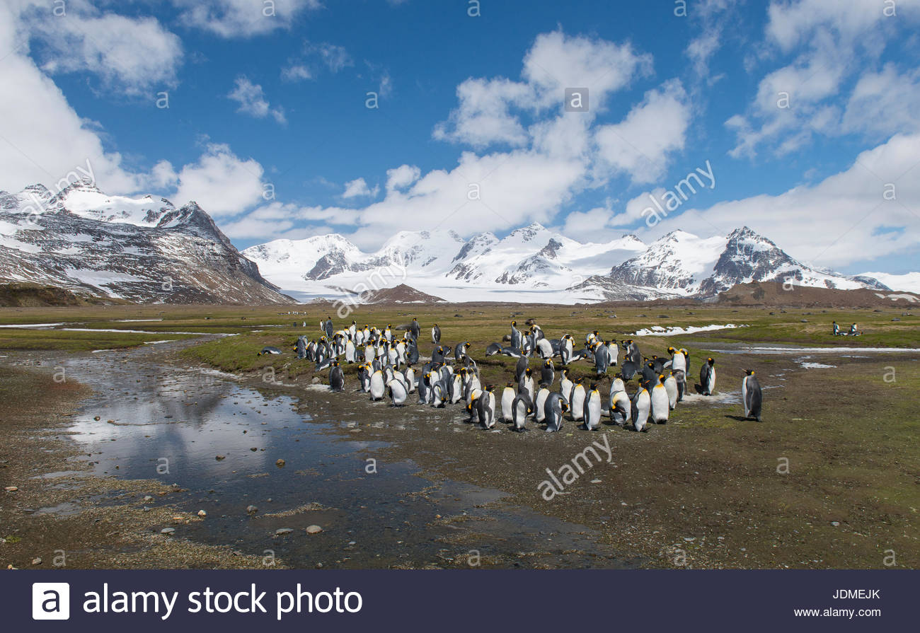 King penguins, Aptenodytes patagonicus, stand together in a group. - Stock Image