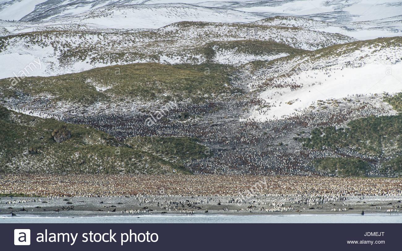 King penguin, Aptenodytes patagonicus, breeding colony on Salisbury Plain. Stock Photo