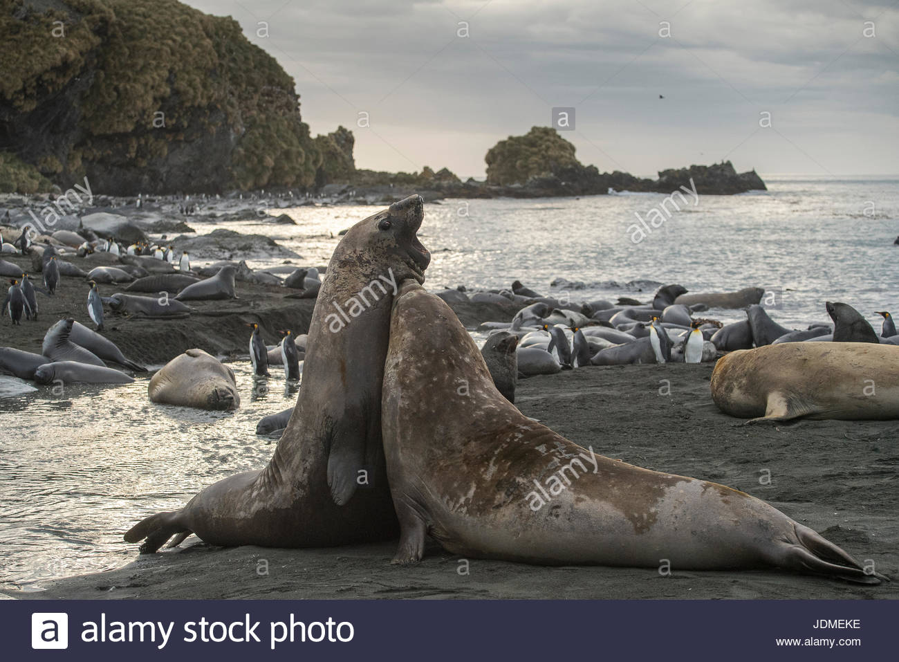 Adult male southern elephant seals fight along the shore. - Stock Image