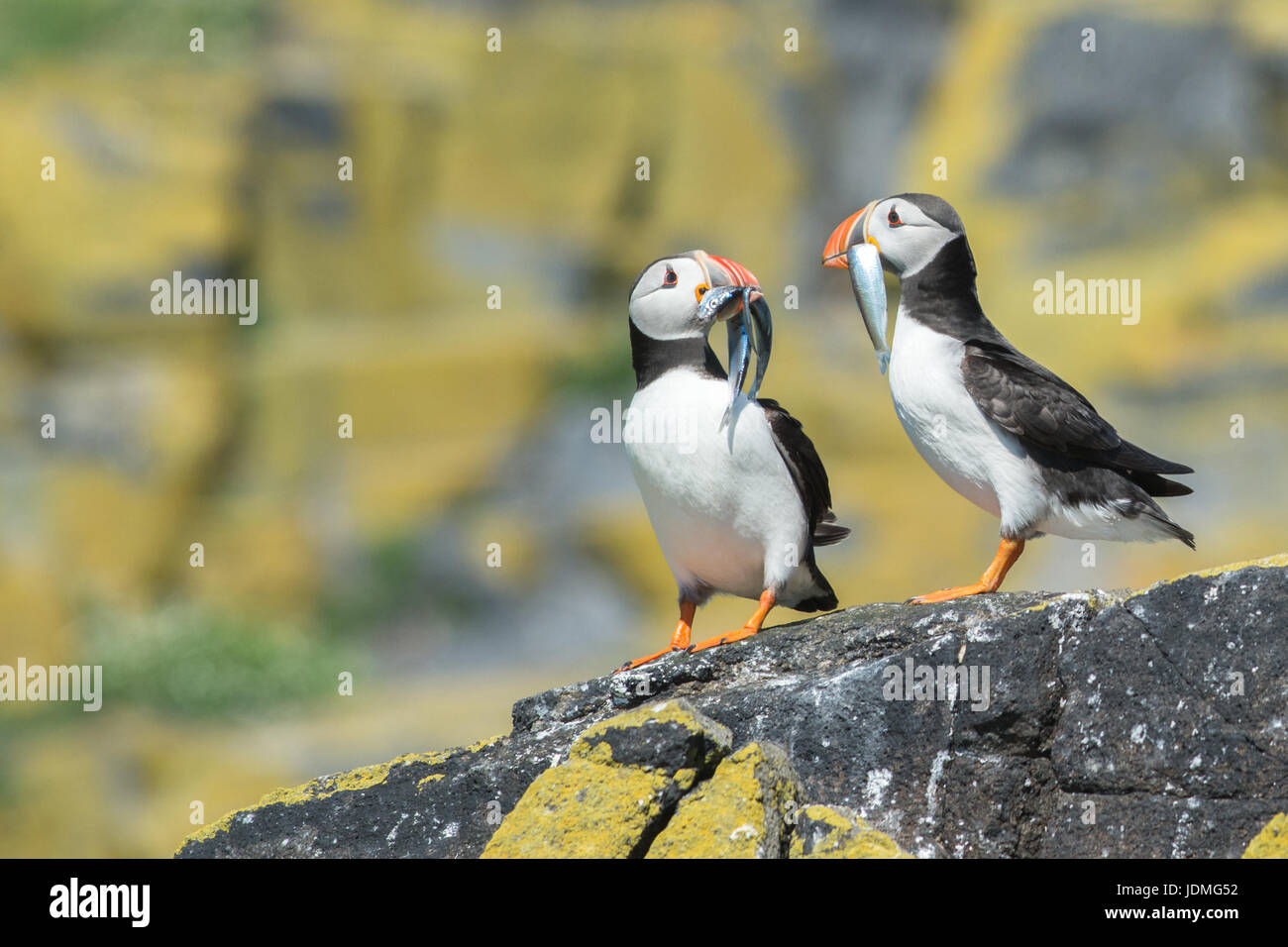 Isle of May Puffins with fish in beaks for young - Stock Image