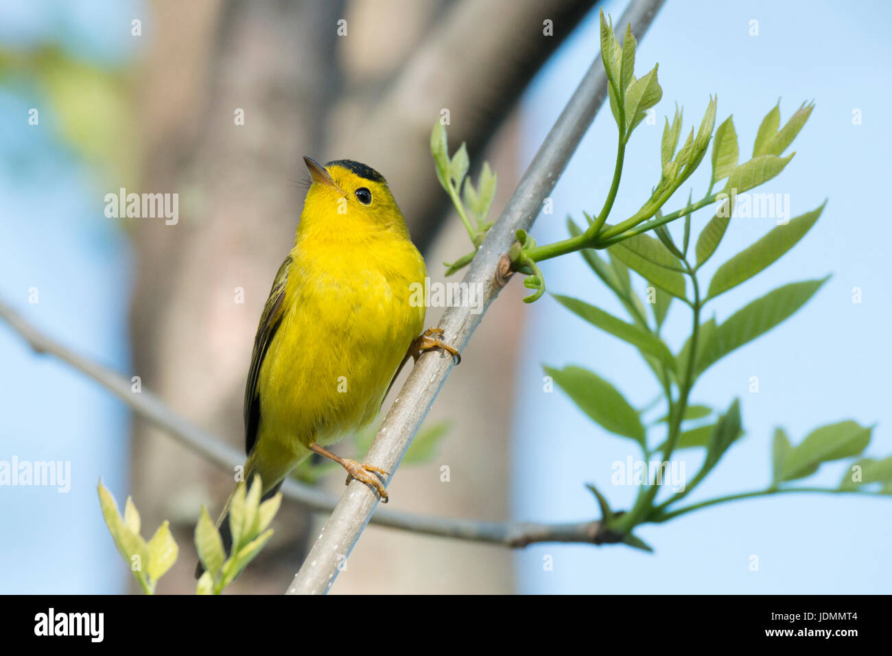 Wilson's Warbler male looks up from perch on budding plant at Magee Marsh - Stock Image