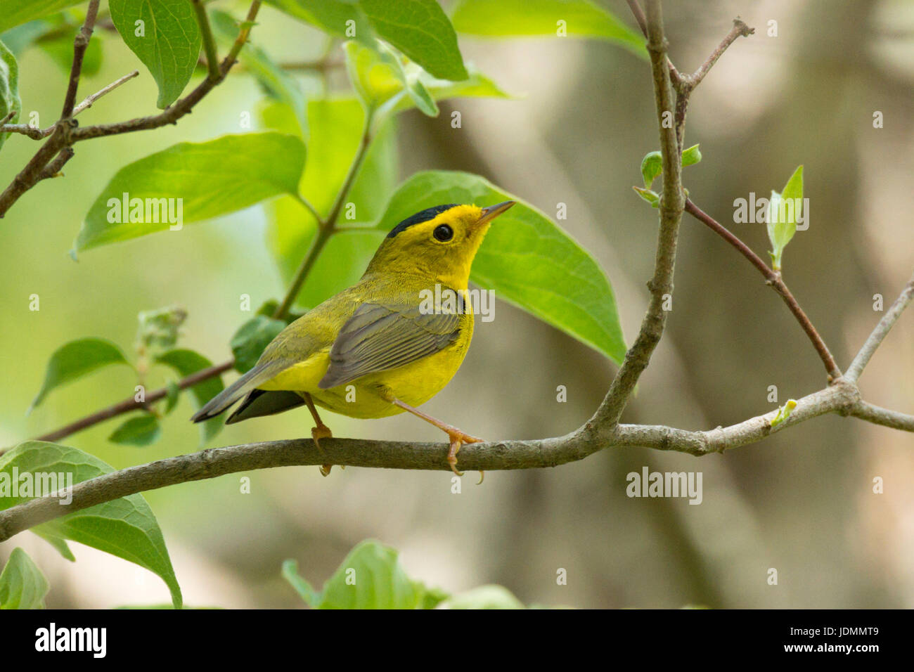 Wilson's Warbler breeding male poses on leafy branch at Magee Marsh Wildlife Area, Ohio - Stock Image