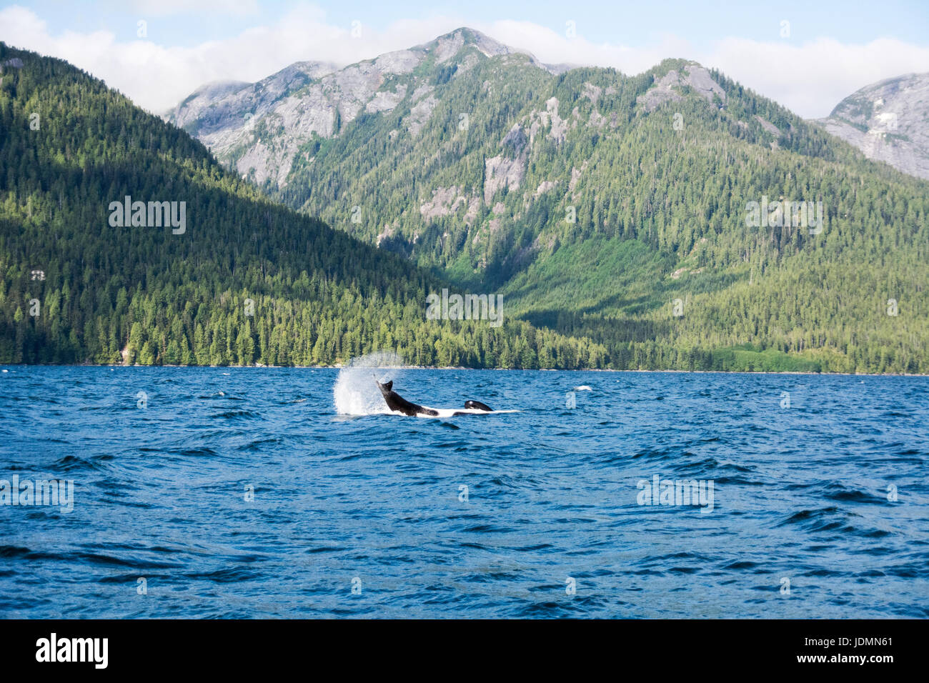 A lone resident killer whale flapping its tail on the water in Whale Channel, in the Great Bear Rainforest region - Stock Image